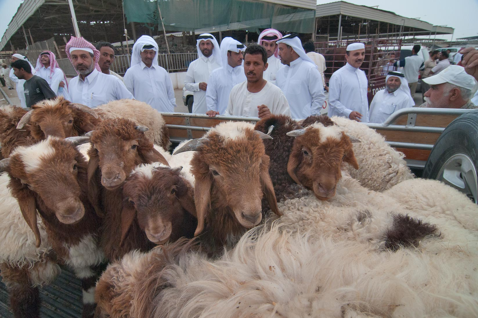 Sheep sold from a truck on auction in Sheep Market, Wholesale Markets area. Doha, Qatar