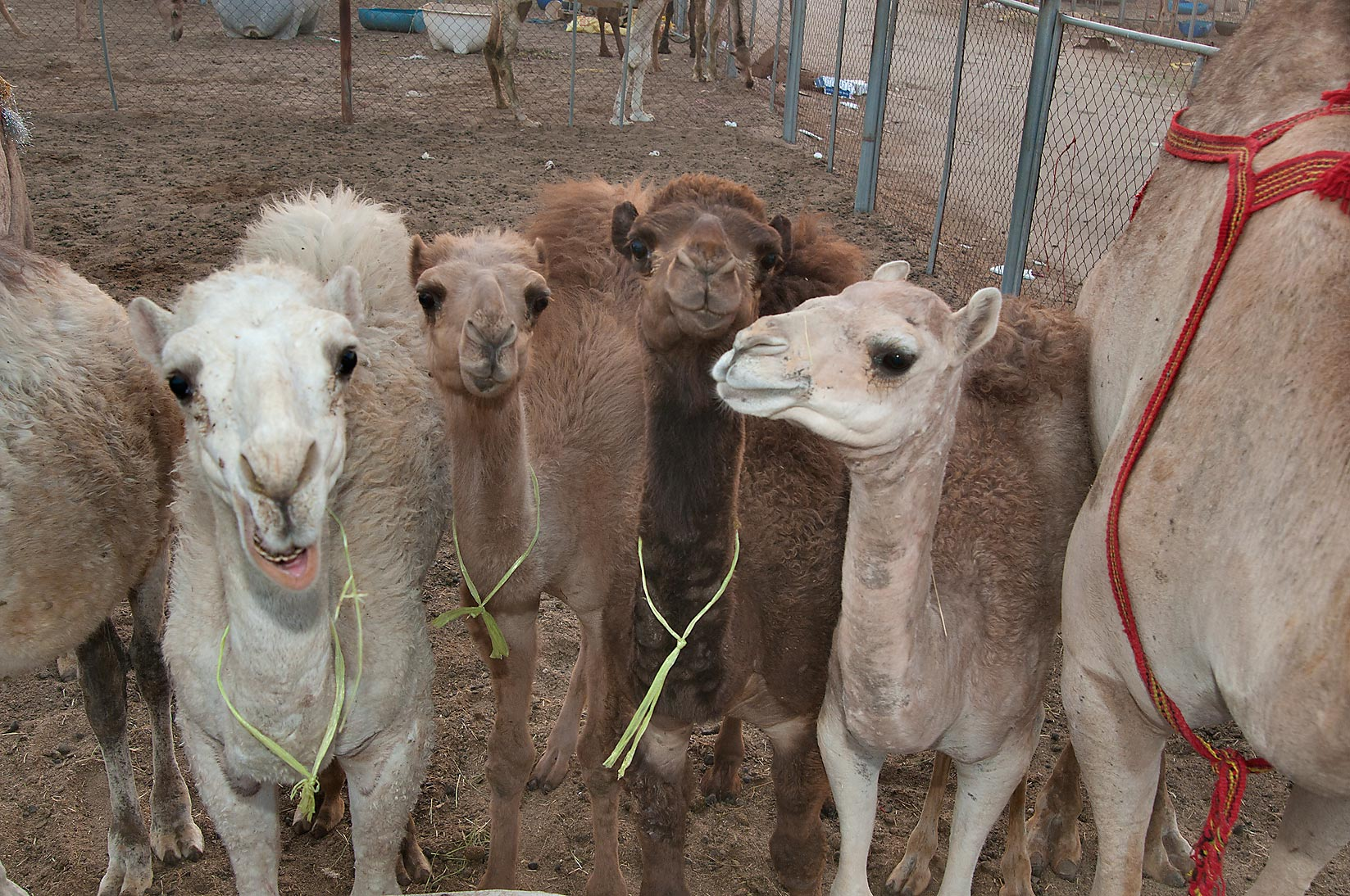 Group of animals in a corral in Camel Market, Wholesale Markets area. Doha, Qatar