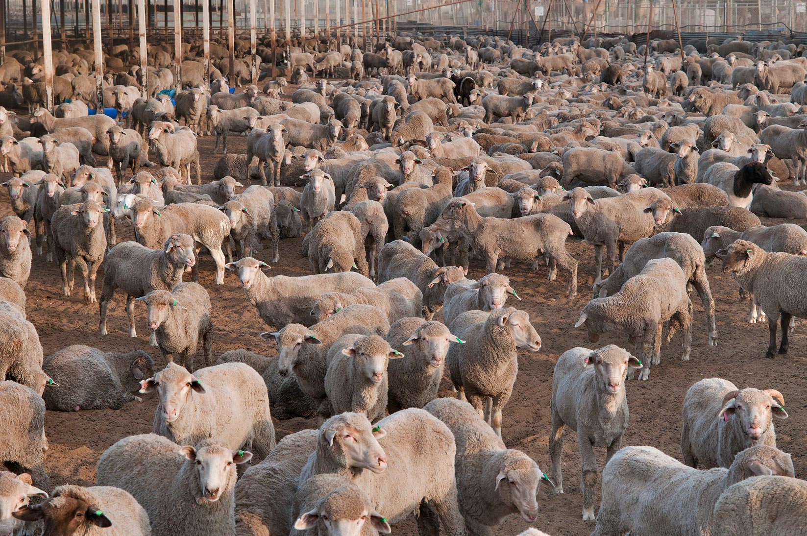 Australian sheep at sunrise in a feedlot of...Wholesale Markets area. Doha, Qatar