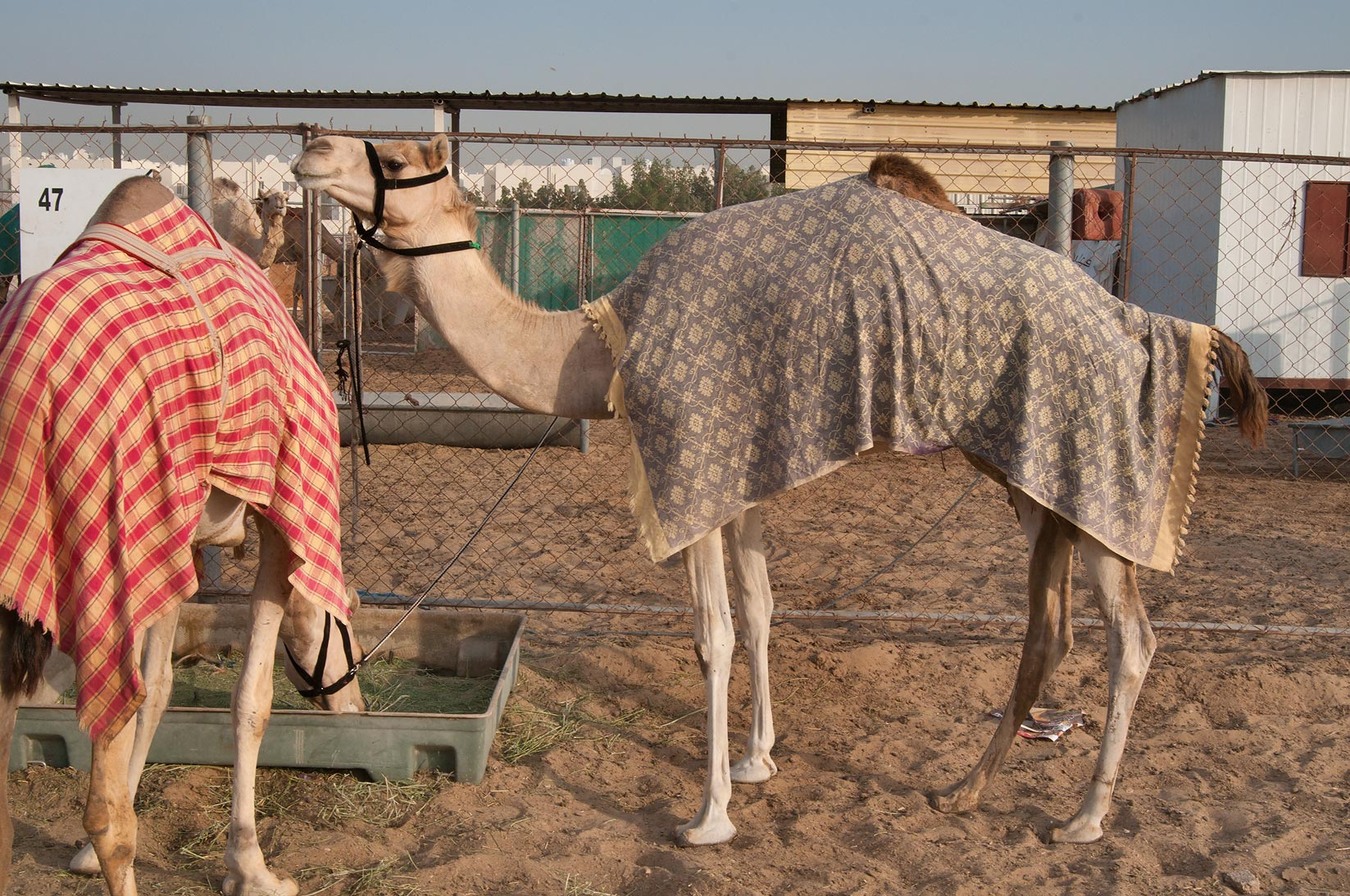 Two camels wearing covers in Camel Market, Wholesale Markets area. Doha, Qatar