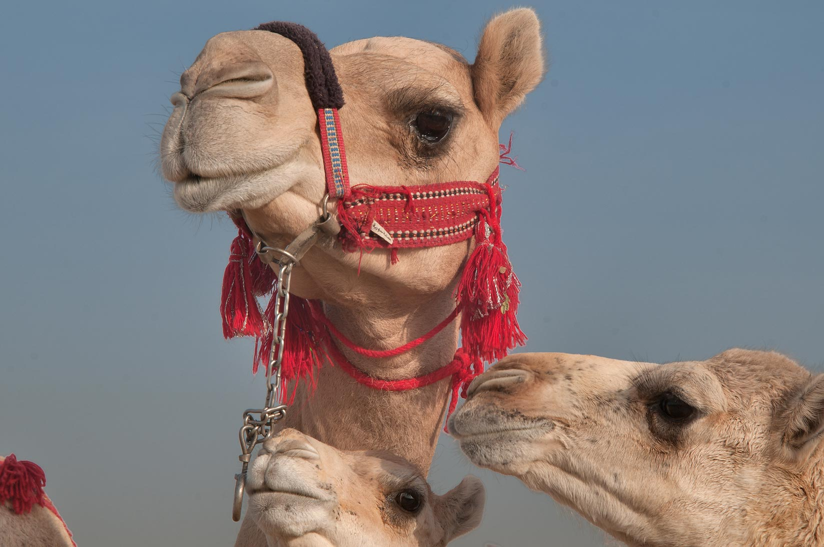 Camel with two other animals in Camel Market, Wholesale Markets area. Doha, Qatar