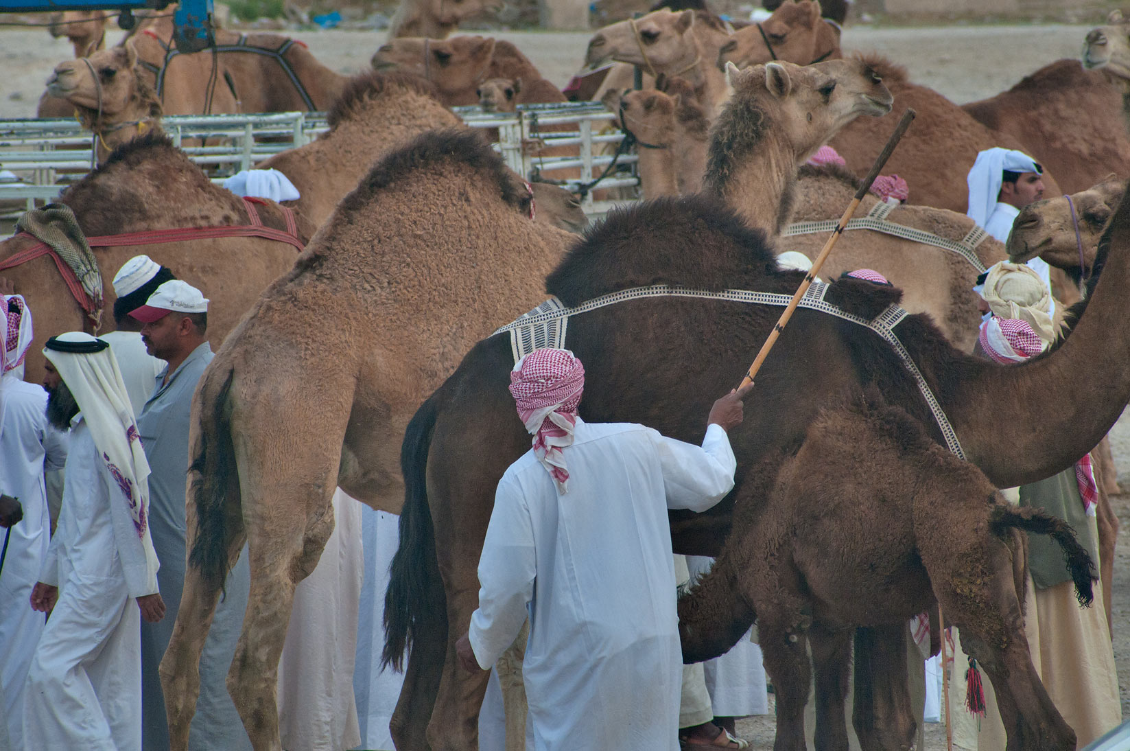 Directing a camel by stick in racing section of...Wholesale Markets area. Doha, Qatar