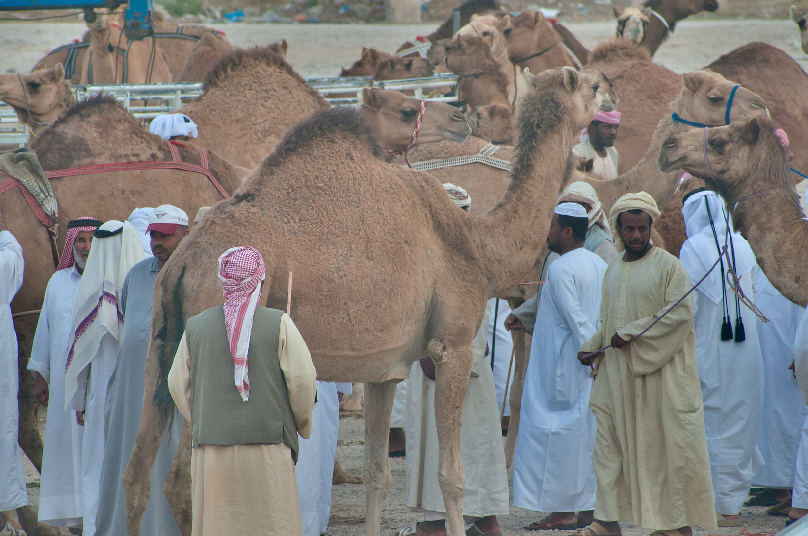People with animals in racing section of Camel Market, Wholesale Markets area. Doha, Qatar