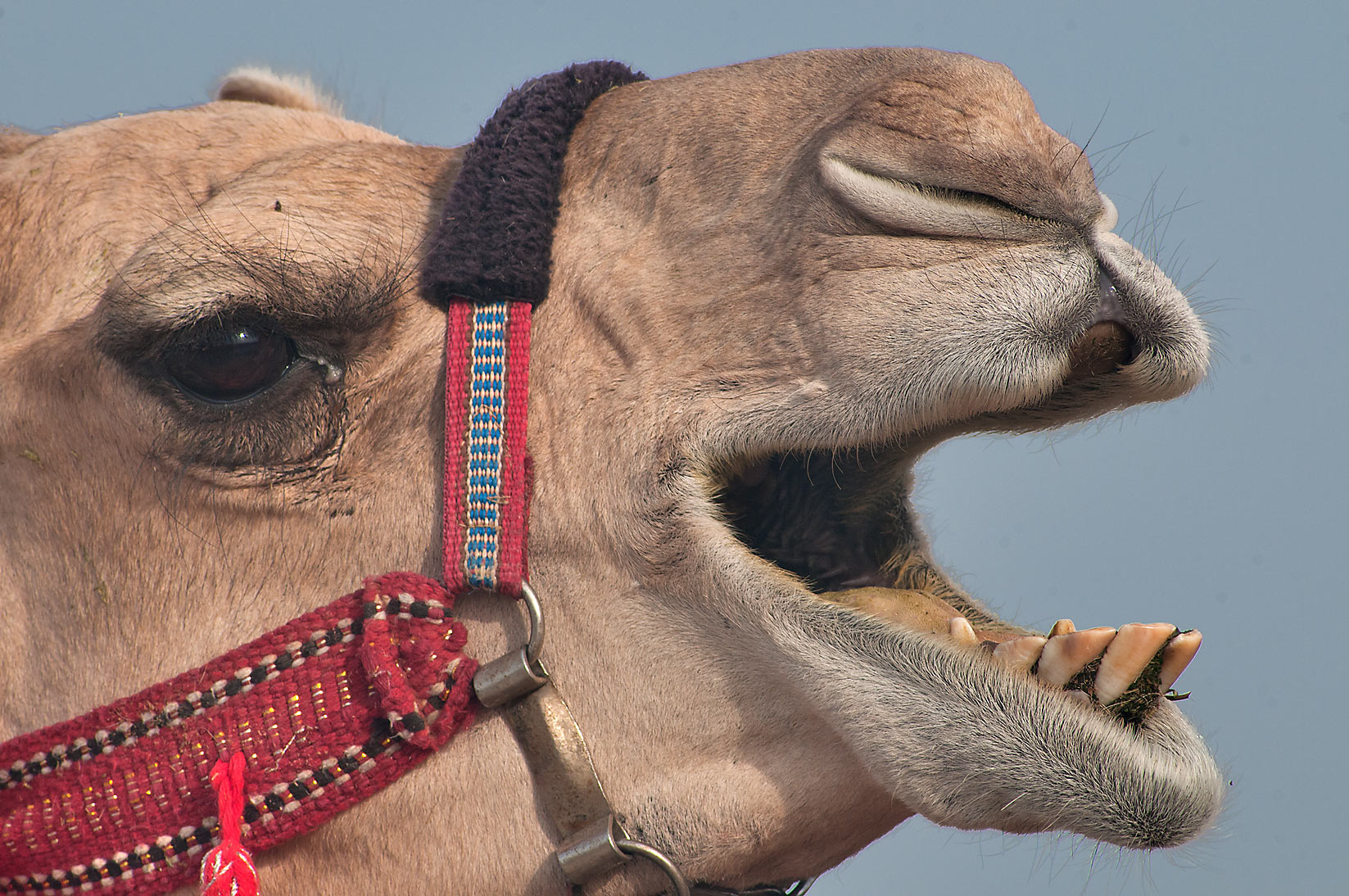 Groaning camel in Camel Market, Wholesale Markets area. Doha, Qatar