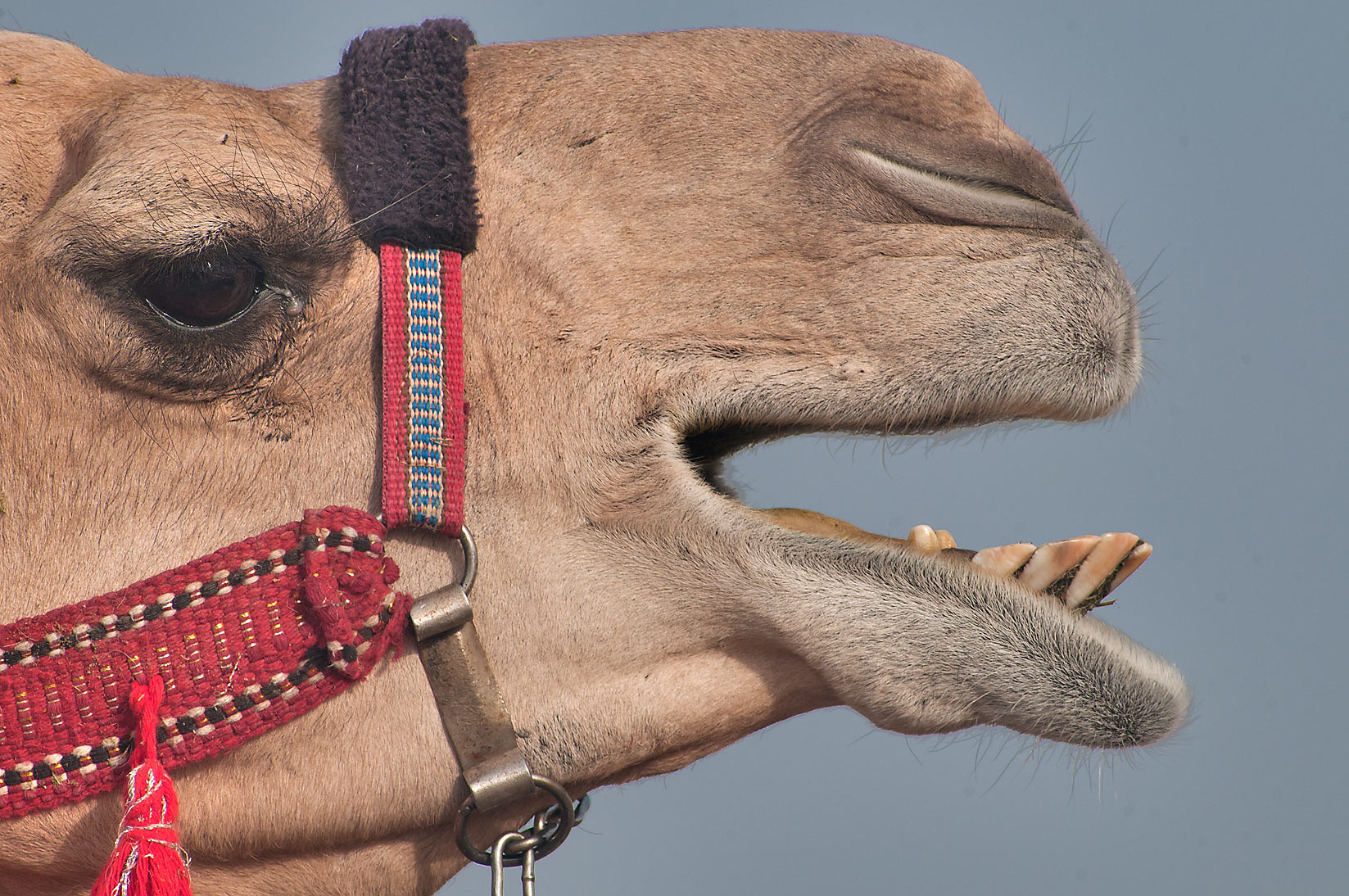 Head of crying camel in Camel Market, Wholesale Markets area. Doha, Qatar