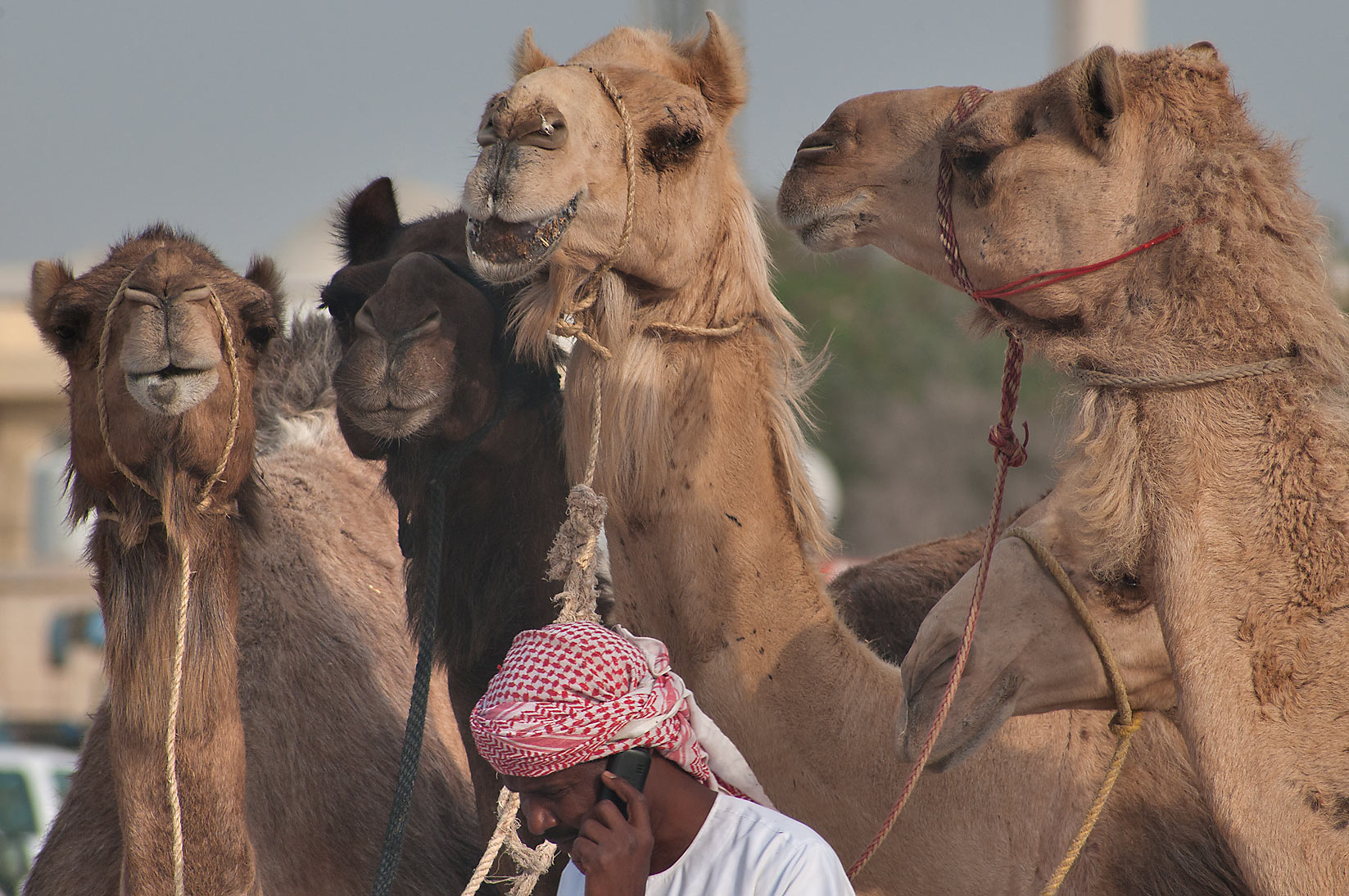 A person with cell phone leading five camels near...Wholesale Markets area. Doha, Qatar