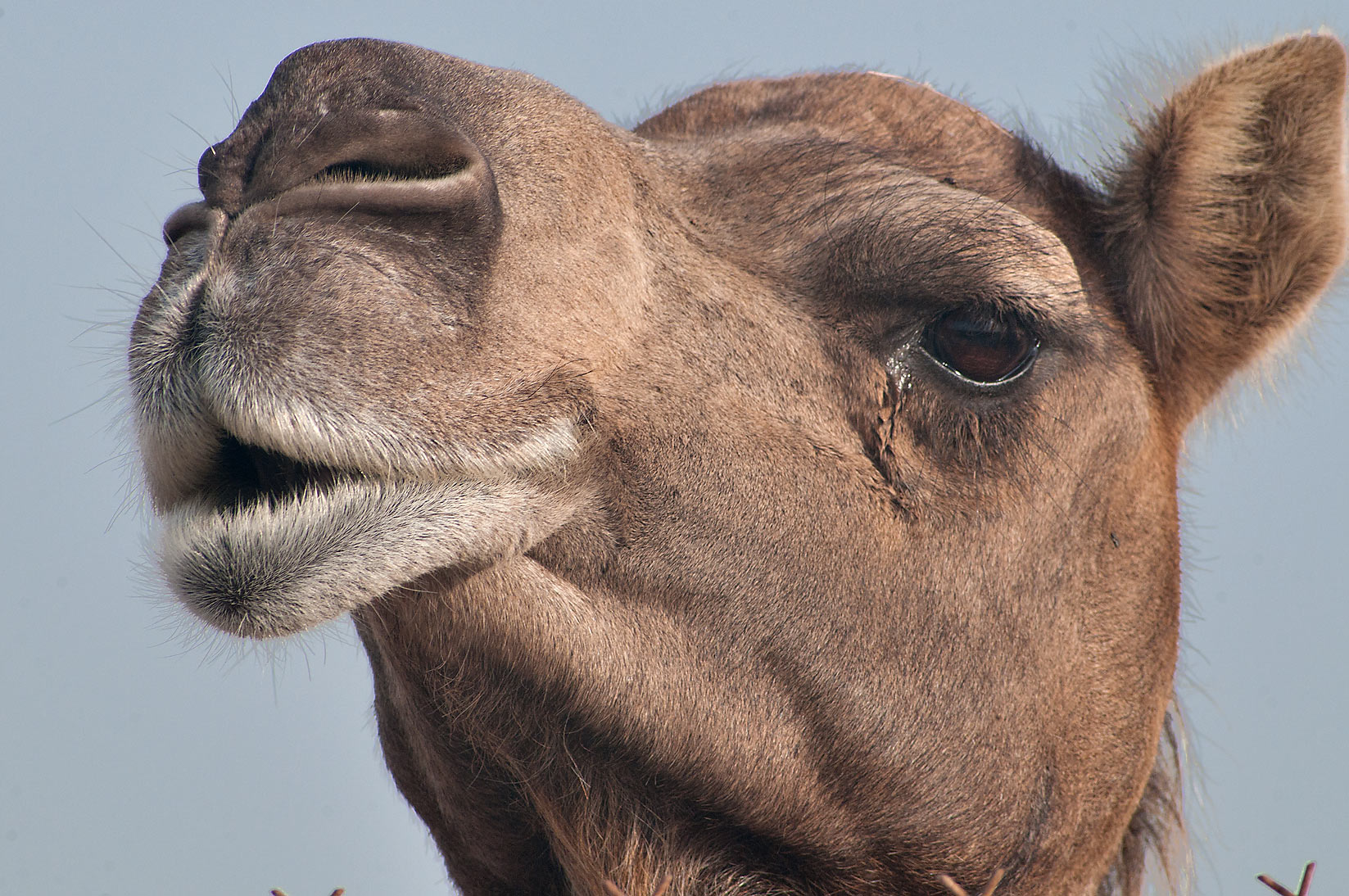 Head of brown camel in Camel Market, Wholesale Markets area. Doha, Qatar