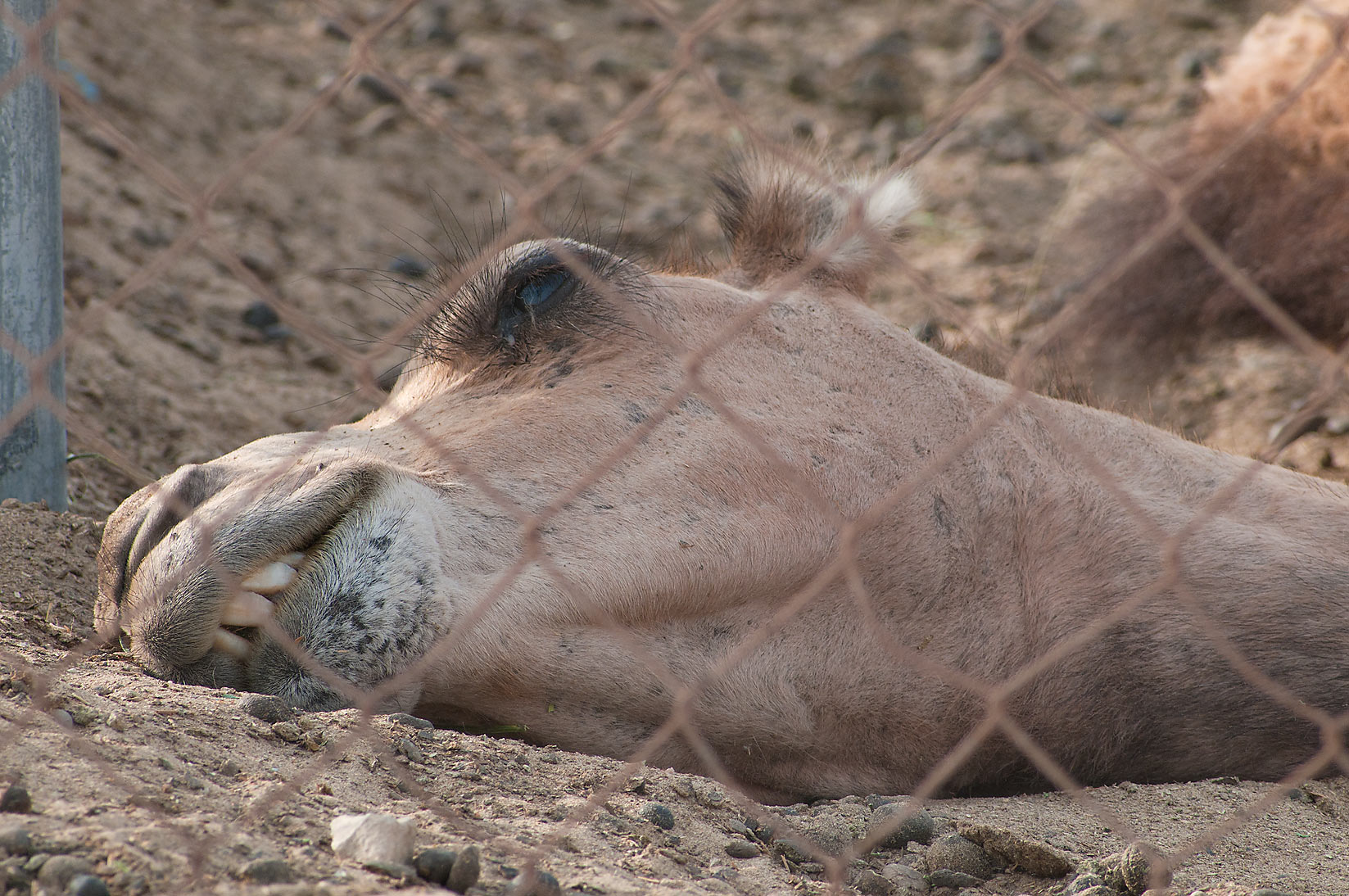 Head of sleeping camel in Camel Market, Wholesale Markets area. Doha, Qatar