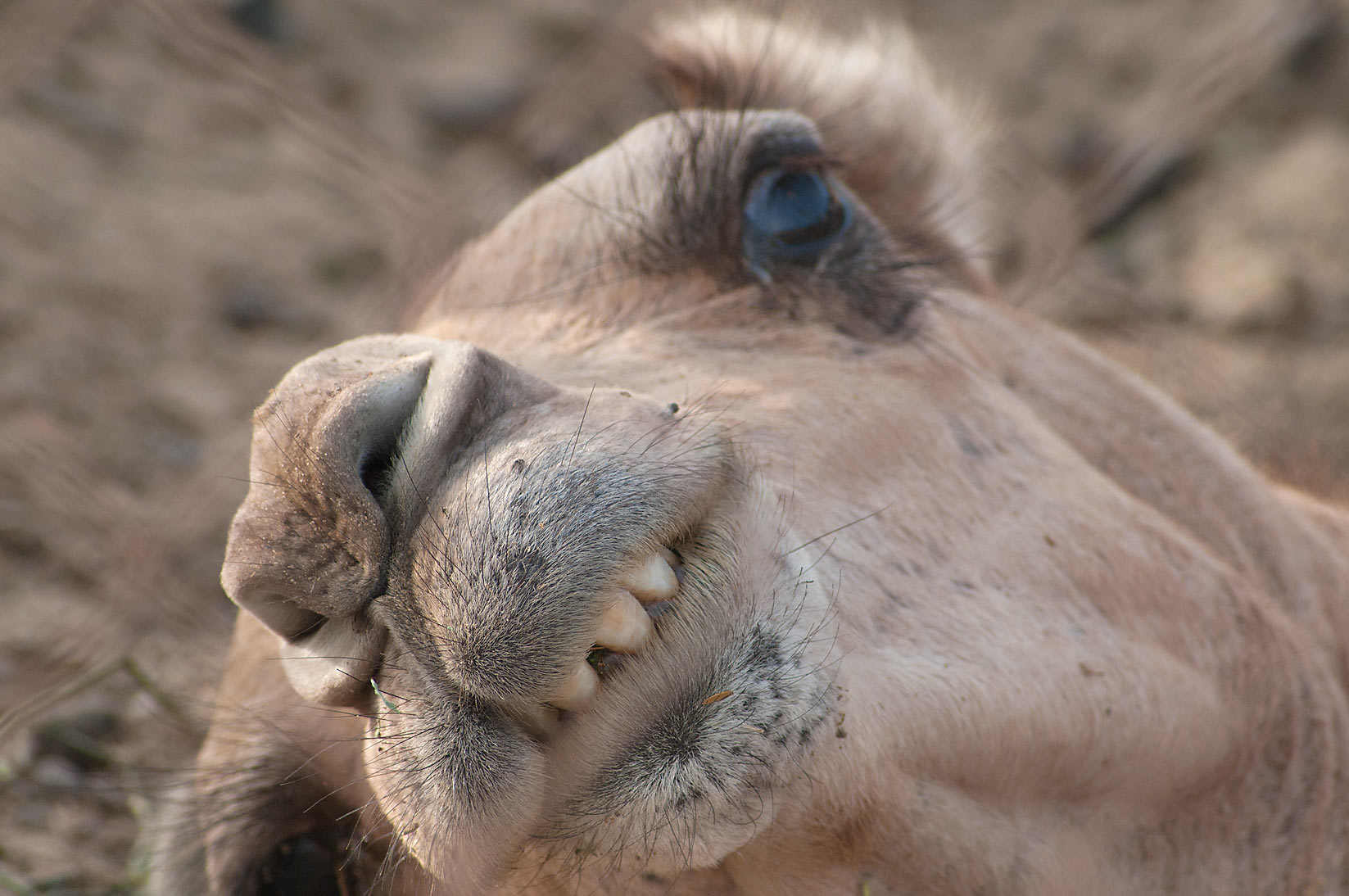 Awakening camel in Camel Market, Wholesale Markets area. Doha, Qatar
