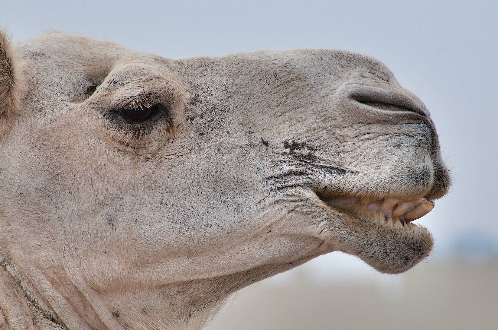 Camel's grin in Camel Market, Wholesale Markets area. Doha, Qatar
