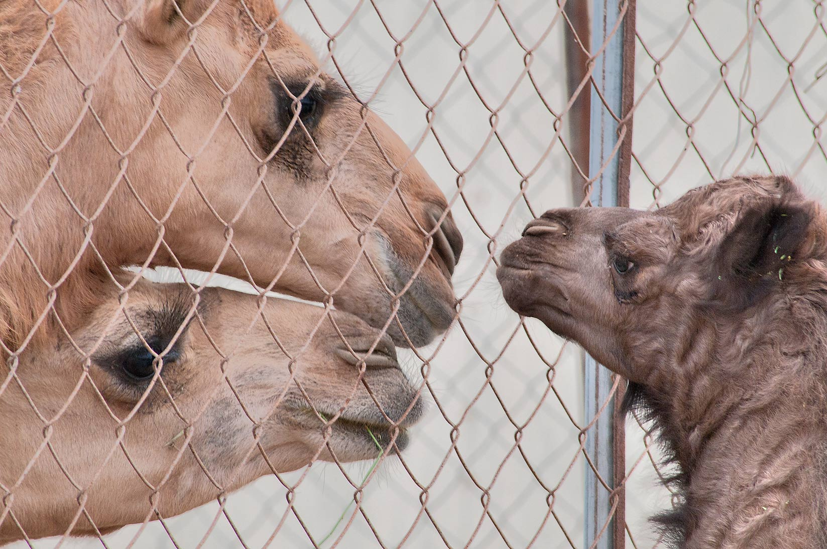 Calf meeting two camels through a fence in Camel...Wholesale Markets area. Doha, Qatar