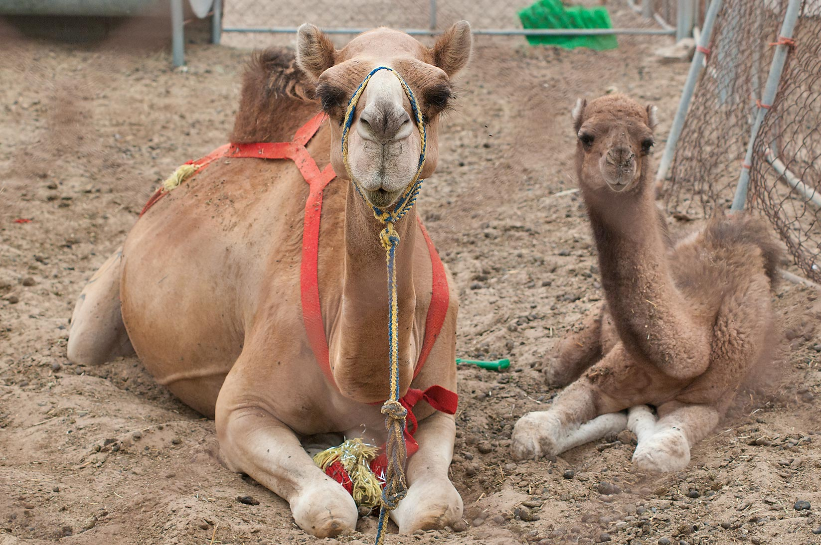 Mother and a son sitting in Camel Market, Wholesale Markets area. Doha, Qatar