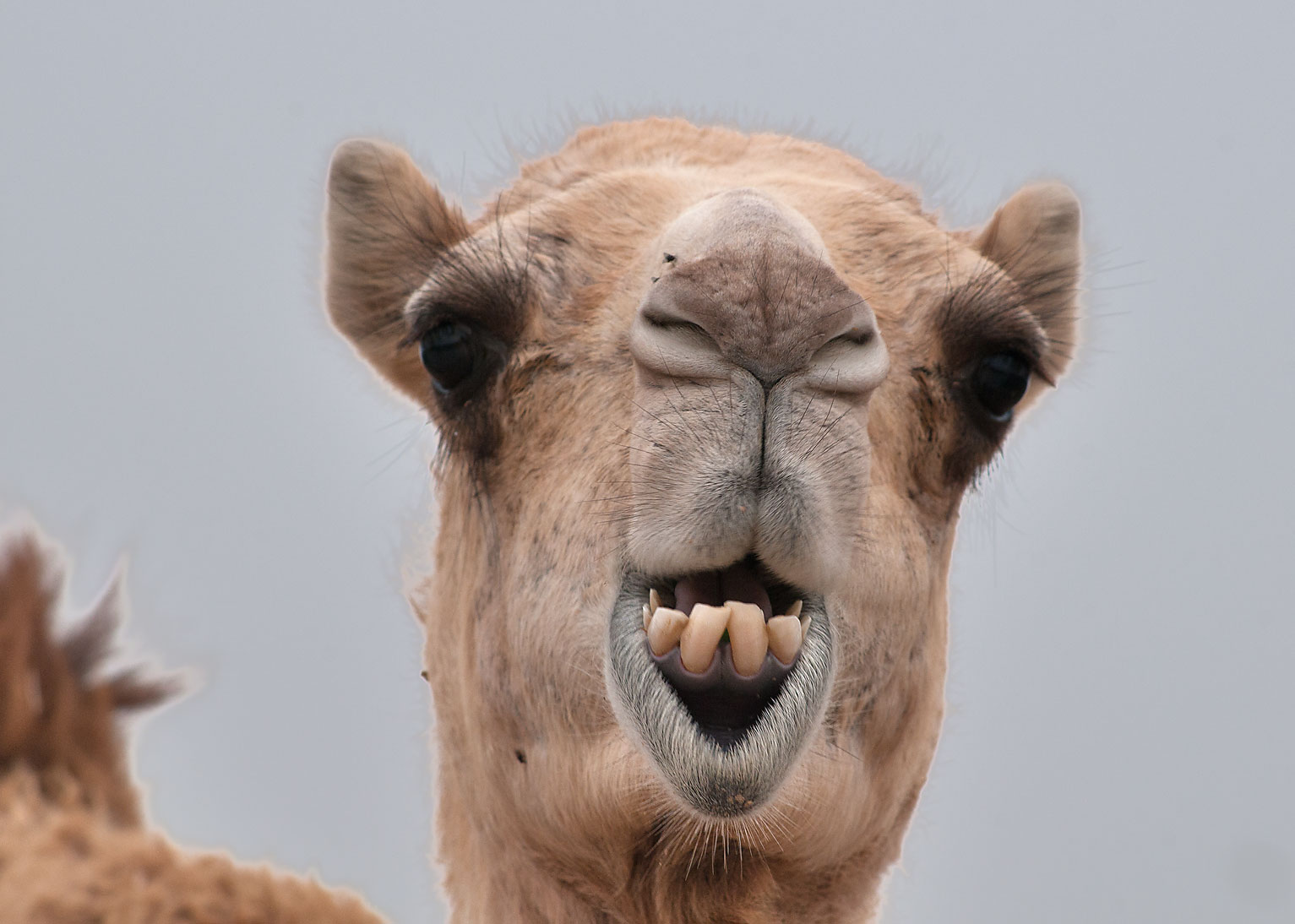 Camel showing its lower teeth in Camel Market, Wholesale Markets area. Doha, Qatar