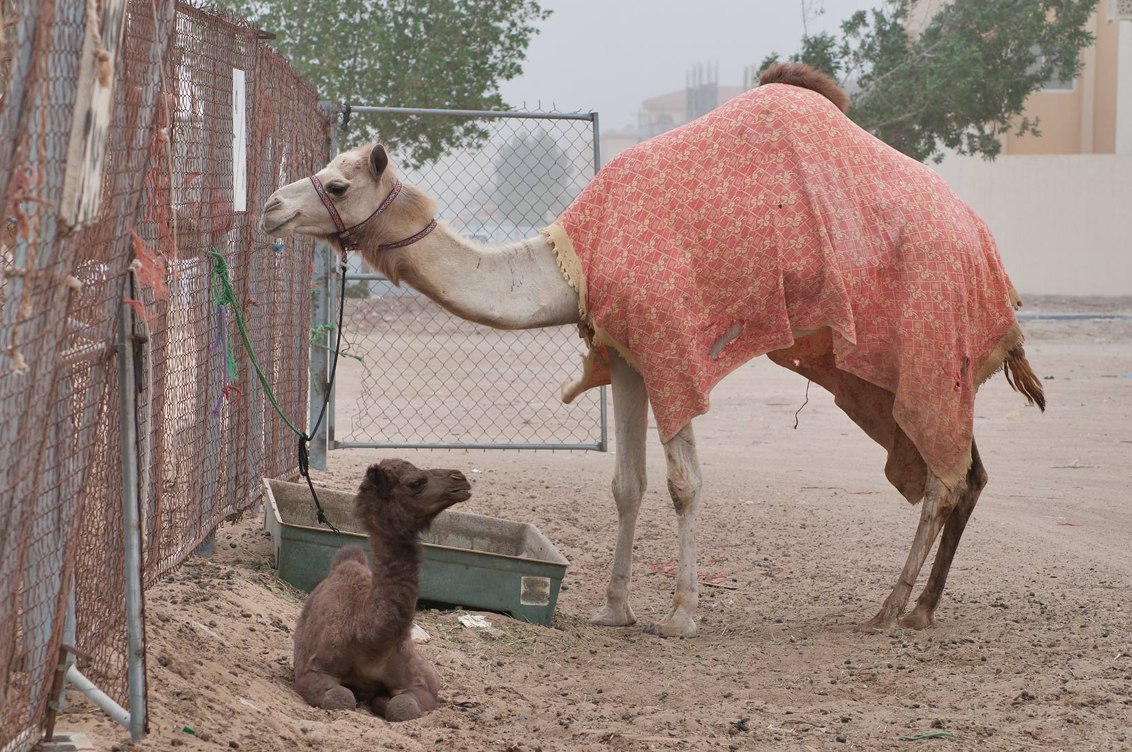 Camel wearing red cover with a calf in Camel Market, Wholesale Markets area. Doha, Qatar