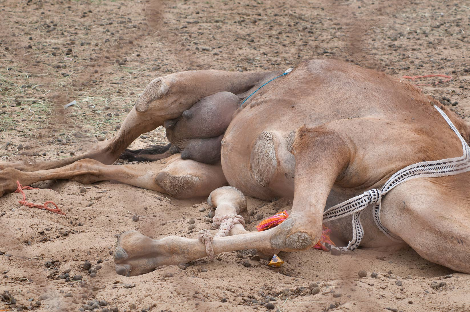 Camel's belly with a tough leathery pad and an...Wholesale Markets area. Doha, Qatar