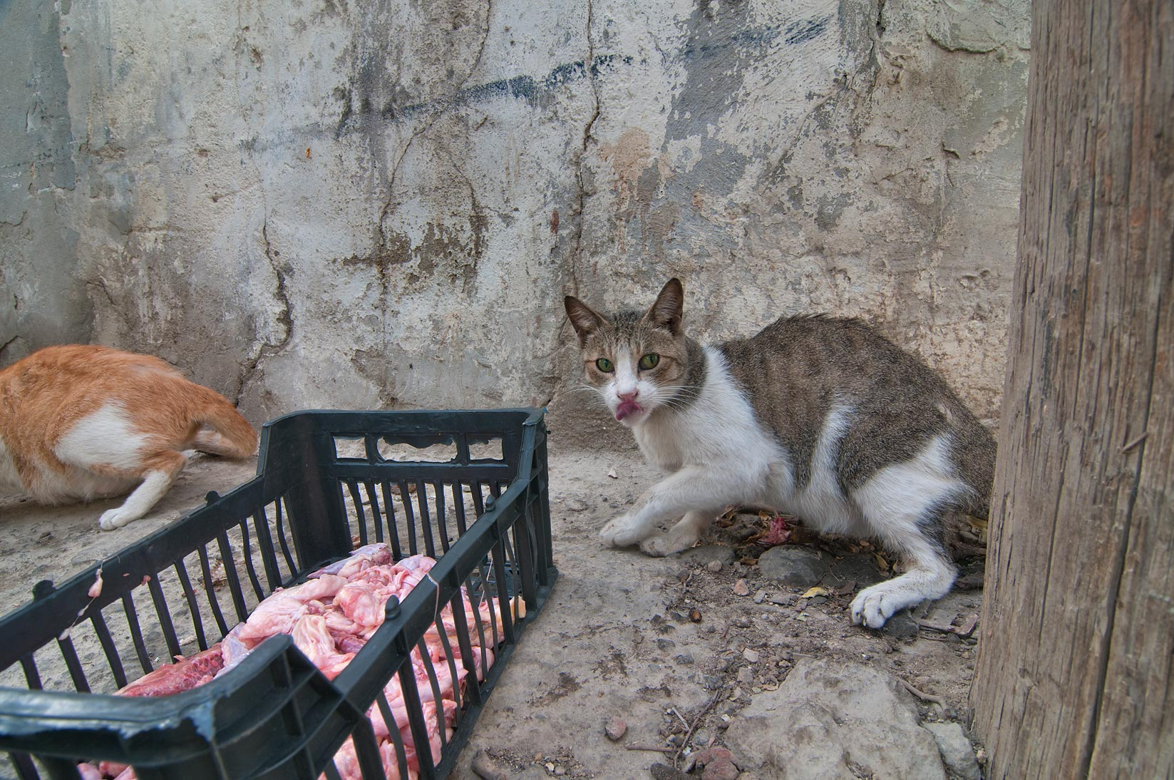 Cats eating raw meat from a box at a corner of...streets in Musheirib area. Doha, Qatar