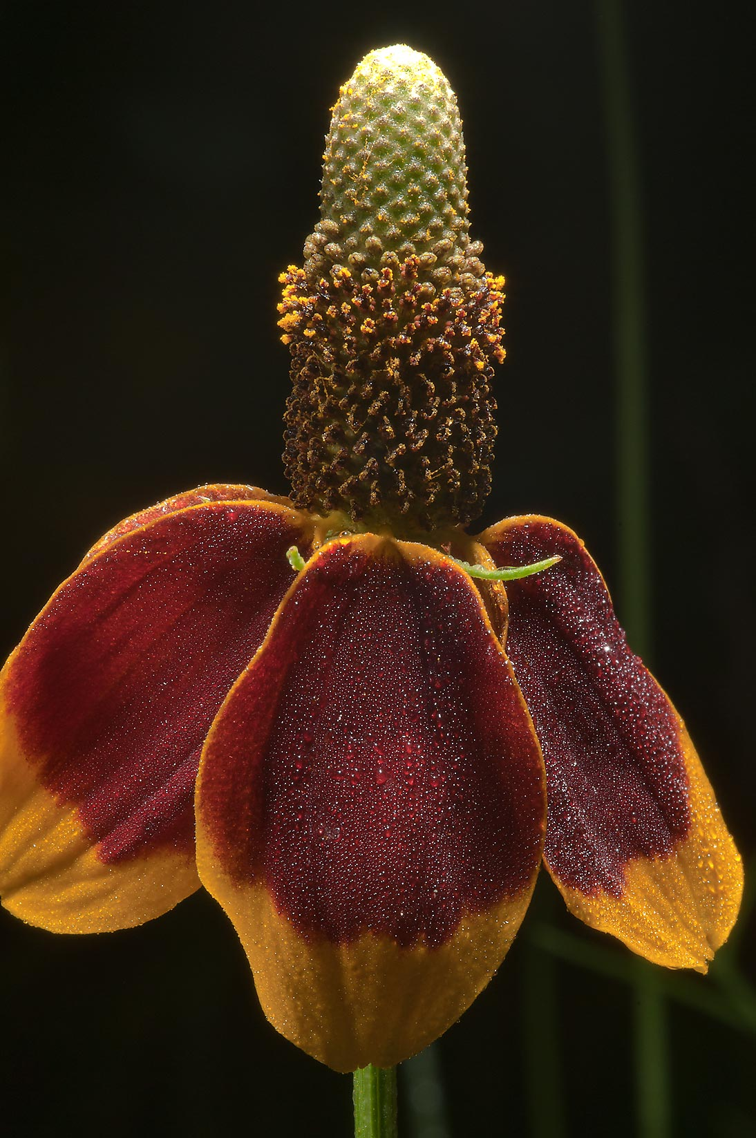Mexican hat flower (Ratibida columnifera) in dew...State Historic Site. Washington, Texas