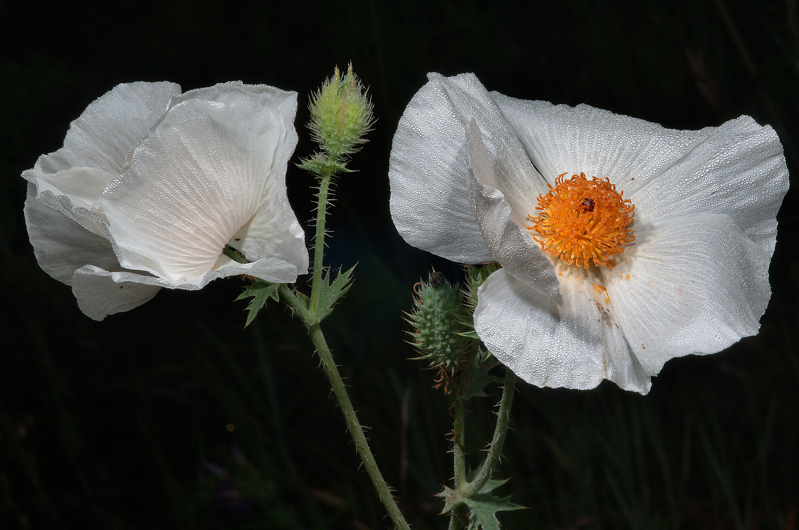 White prickly poppy (Argemone albiflora) in...State Historic Site. Washington, Texas