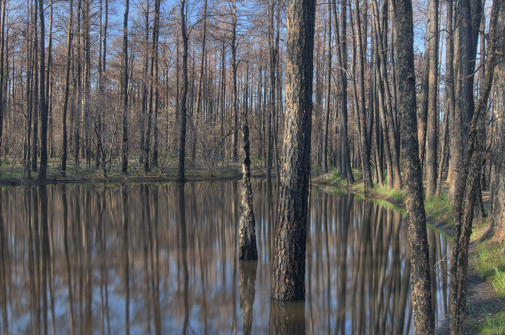 Burned pines in a pond near Roosevelt's Cutoff Trail in Bastrop State Park. Bastrop, Texas