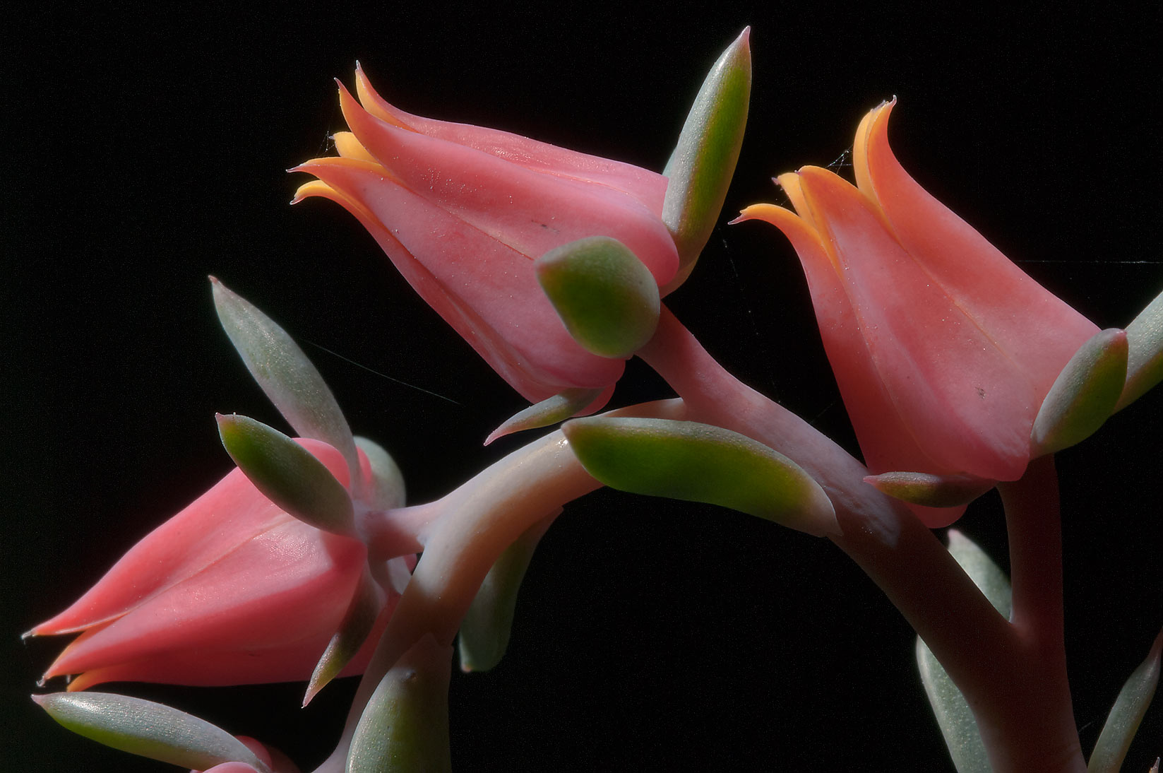 Blooming echeveria in TAMU Holistic Garden in...M University. College Station, Texas