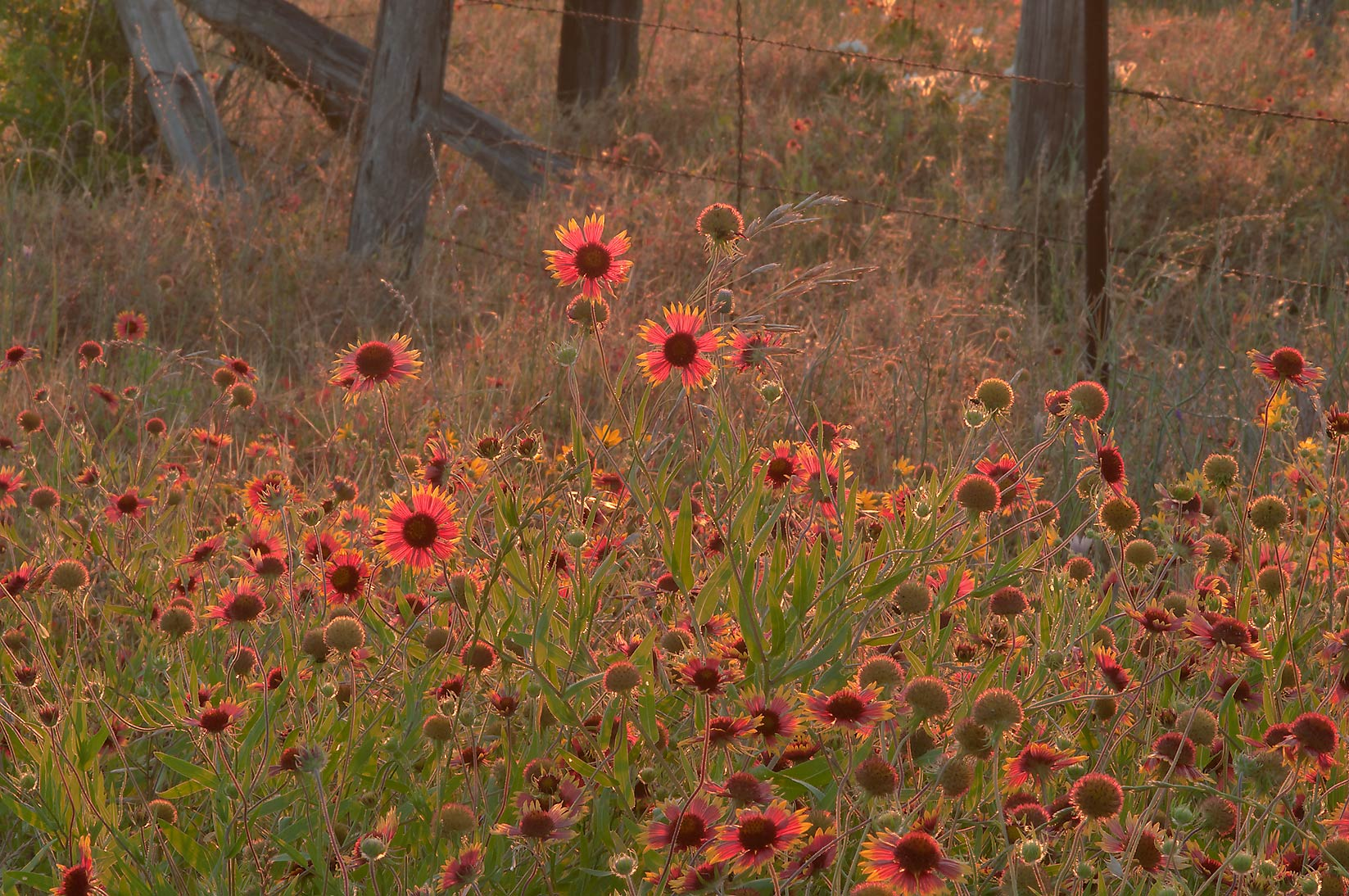 Indian blanket (Gaillardia pulchella, firewheel...Old Baylor Park. Independence, Texas