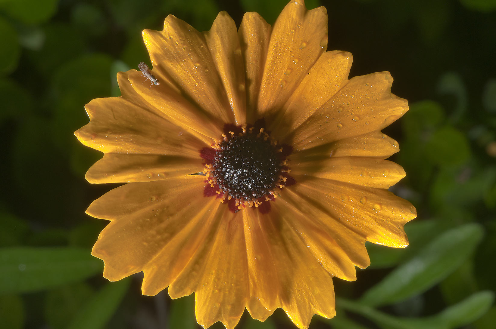 Coreopsis flower in Lick Creek Park. College Station, Texas