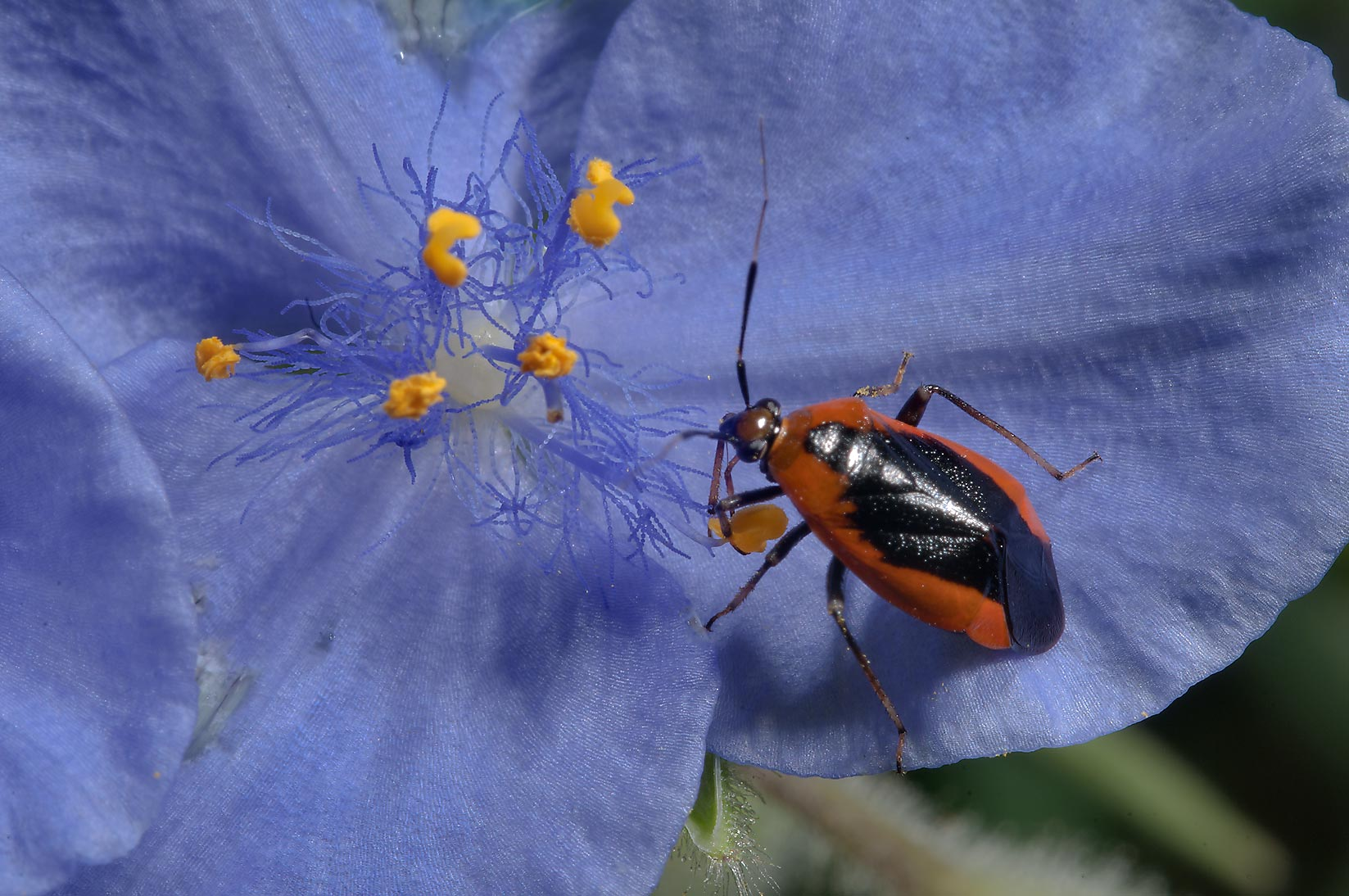 A bug on spiderwort (Tradescantia) in Birch Creek Unit of Lake Somerville State Park
