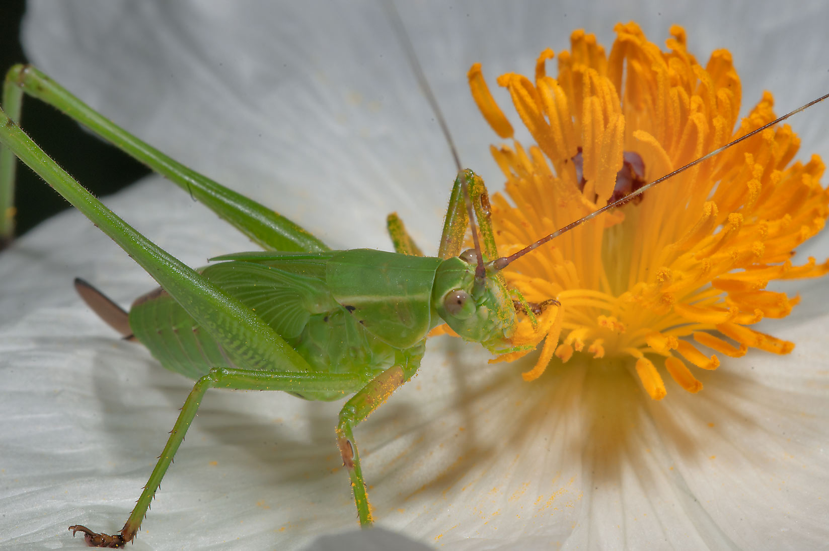 Katydid on white prickly poppy in Birch Creek Unit of Lake Somerville State Park
