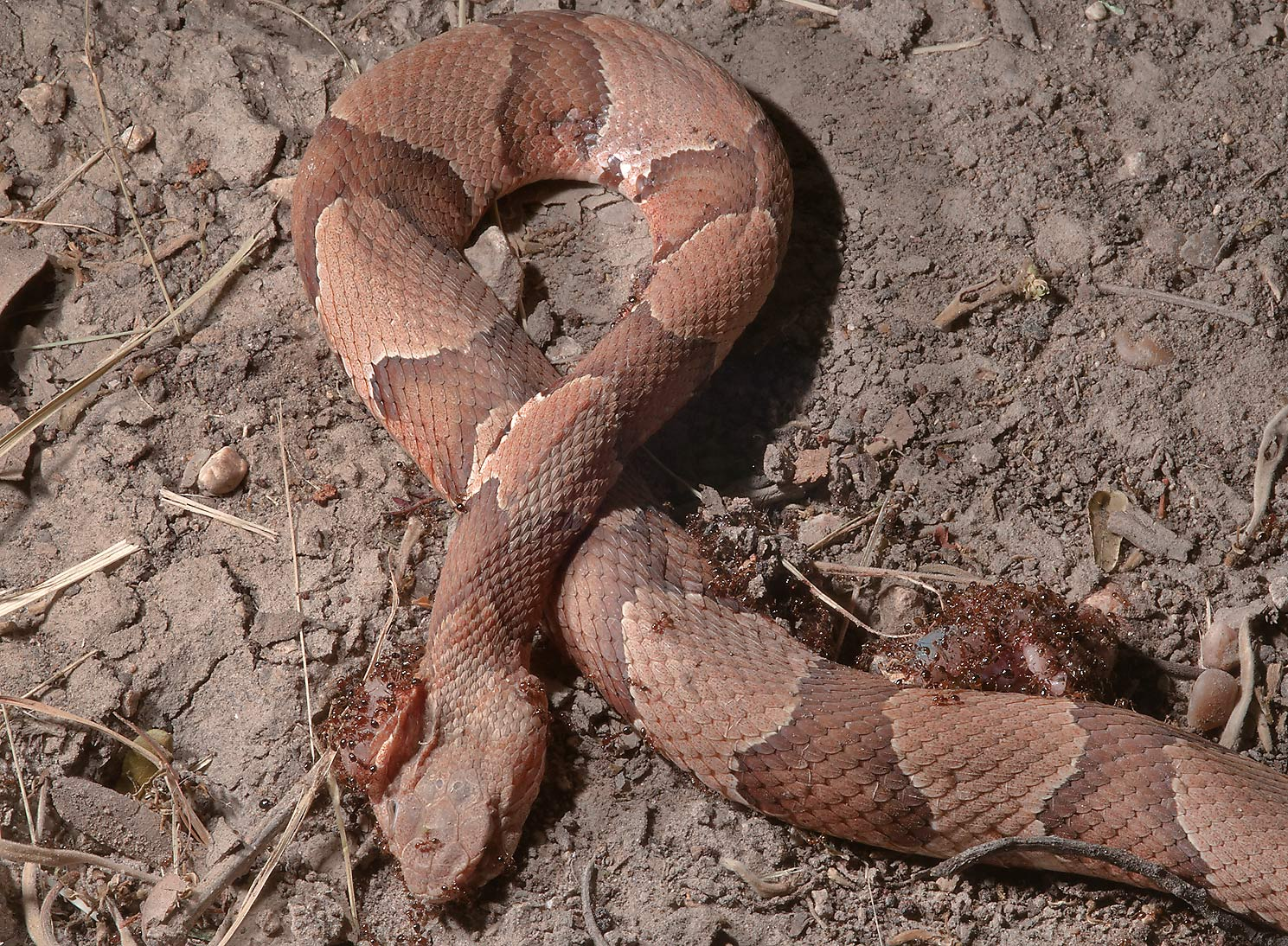 Ants eating a dead copperhead snake in Birch Creek Unit of Lake Somerville State Park