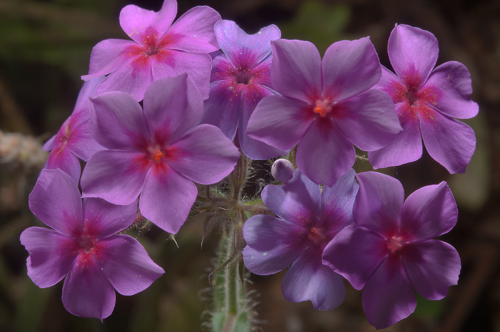 Pink phlox flowers in Birch Creek Unit of Lake Somerville State Park, Texas