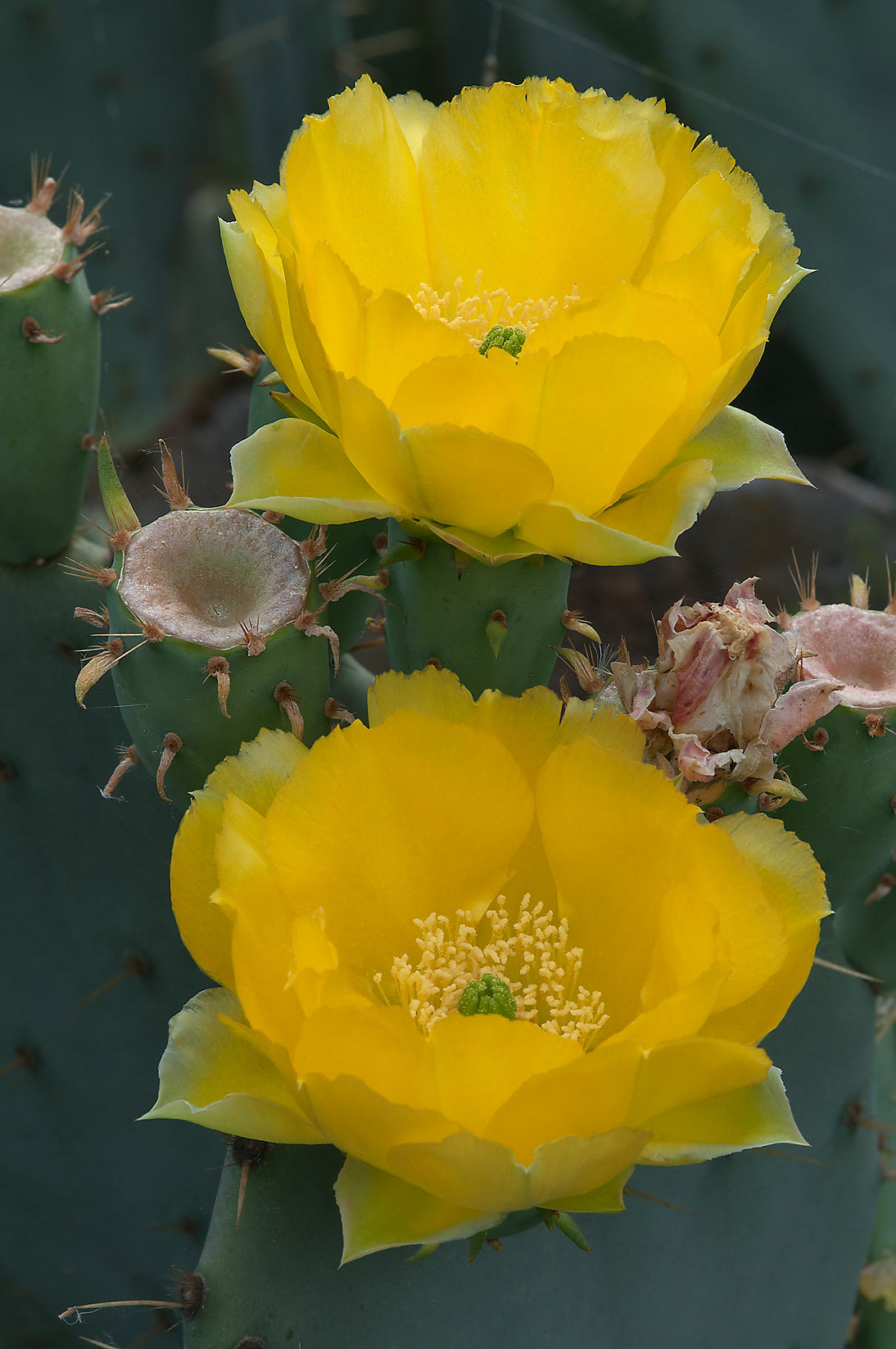 Yellow flowers of prickly pears (Opuntia) in...of Lake Somerville State Park, Texas