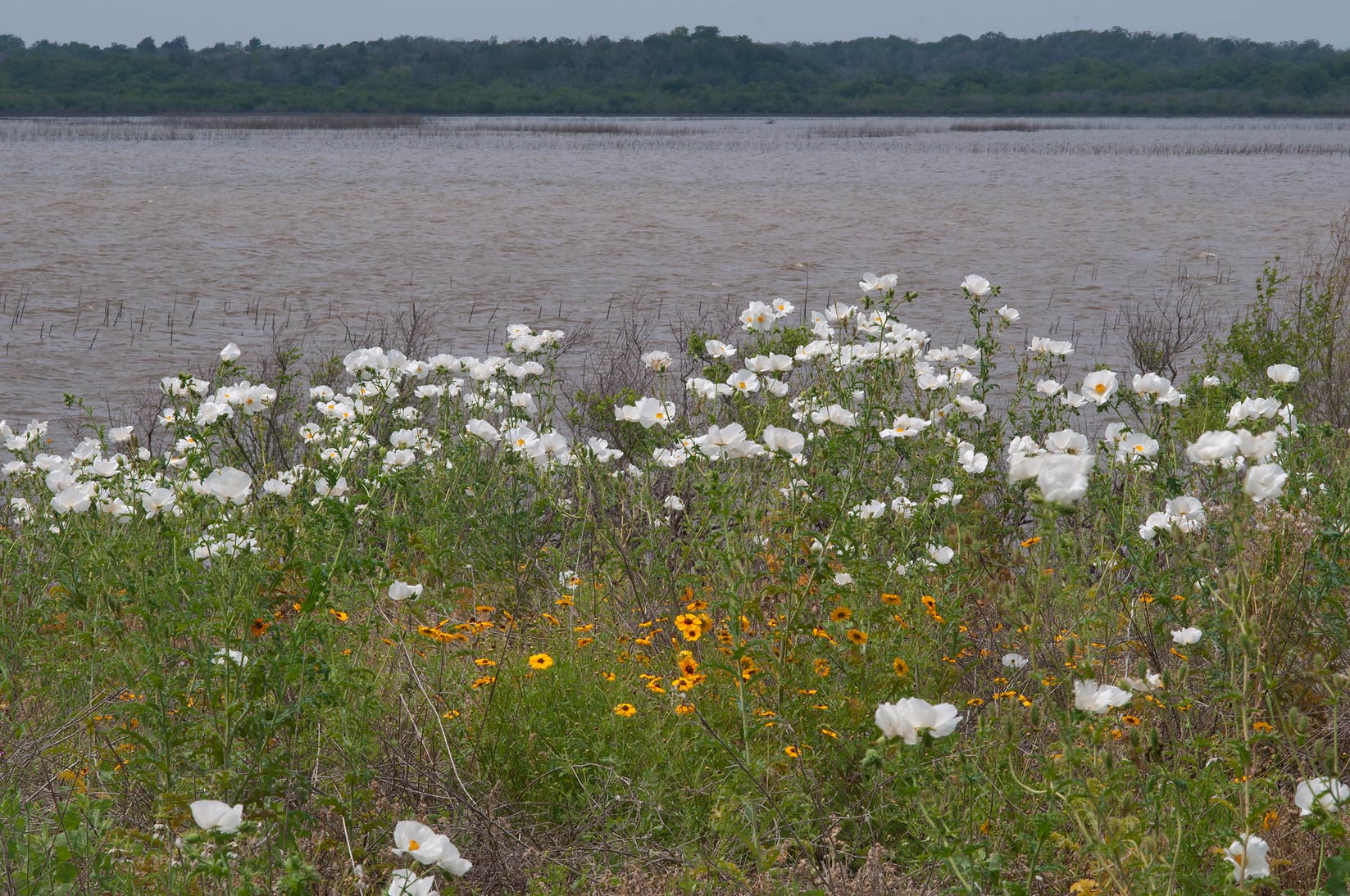 White prickly poppy on shores of the lake in...of Lake Somerville State Park, Texas