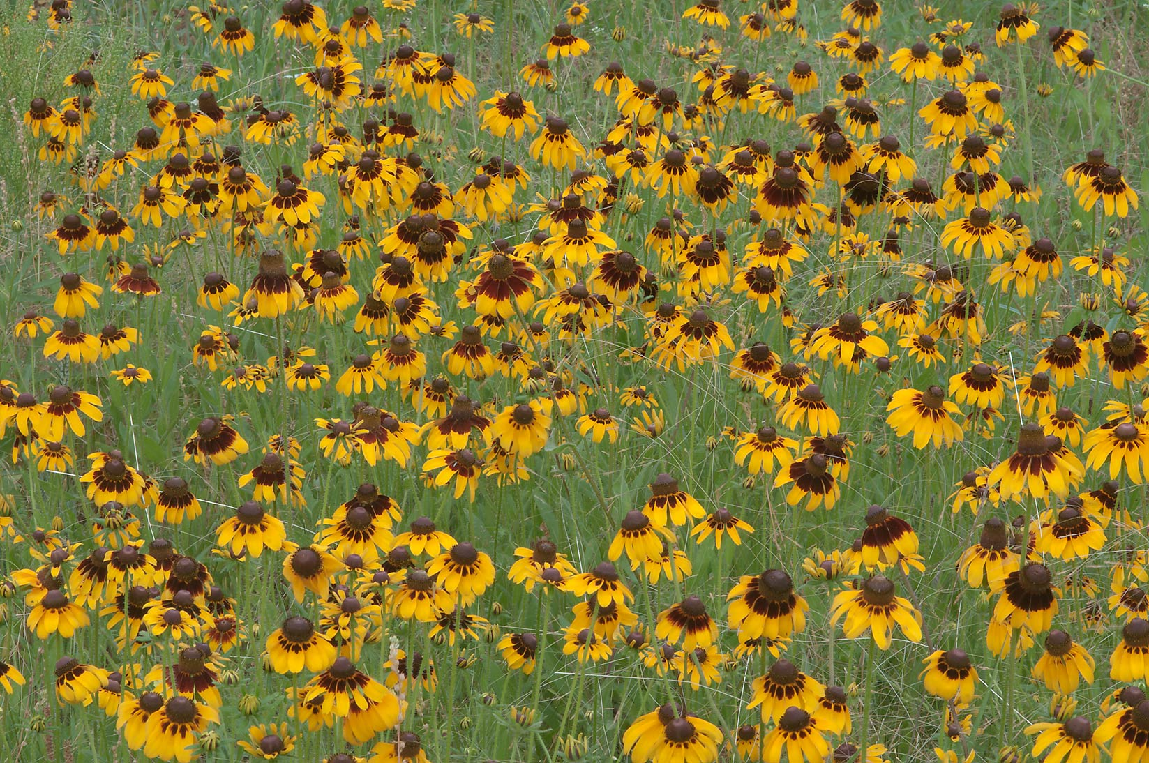 Field of Black eyed susan flowers in Lick Creek Park. College Station, Texas
