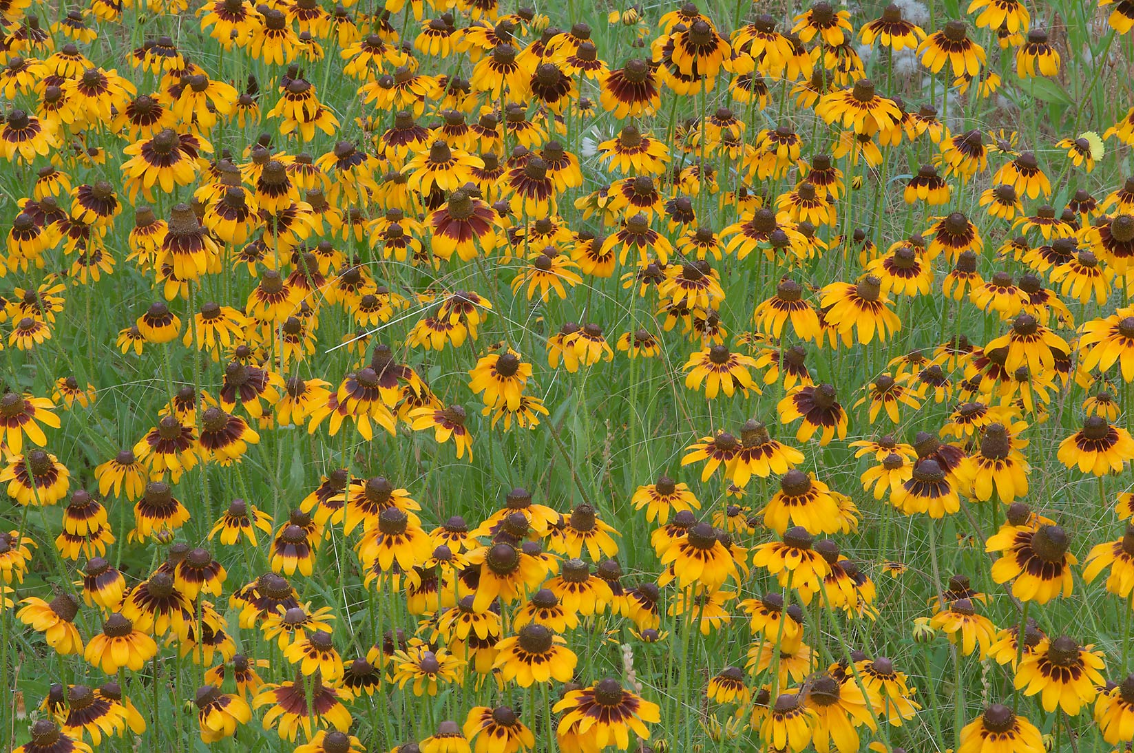 Dense stand of Black Eyed Susan (Rudbeckia hirta...Creek Park. College Station, Texas