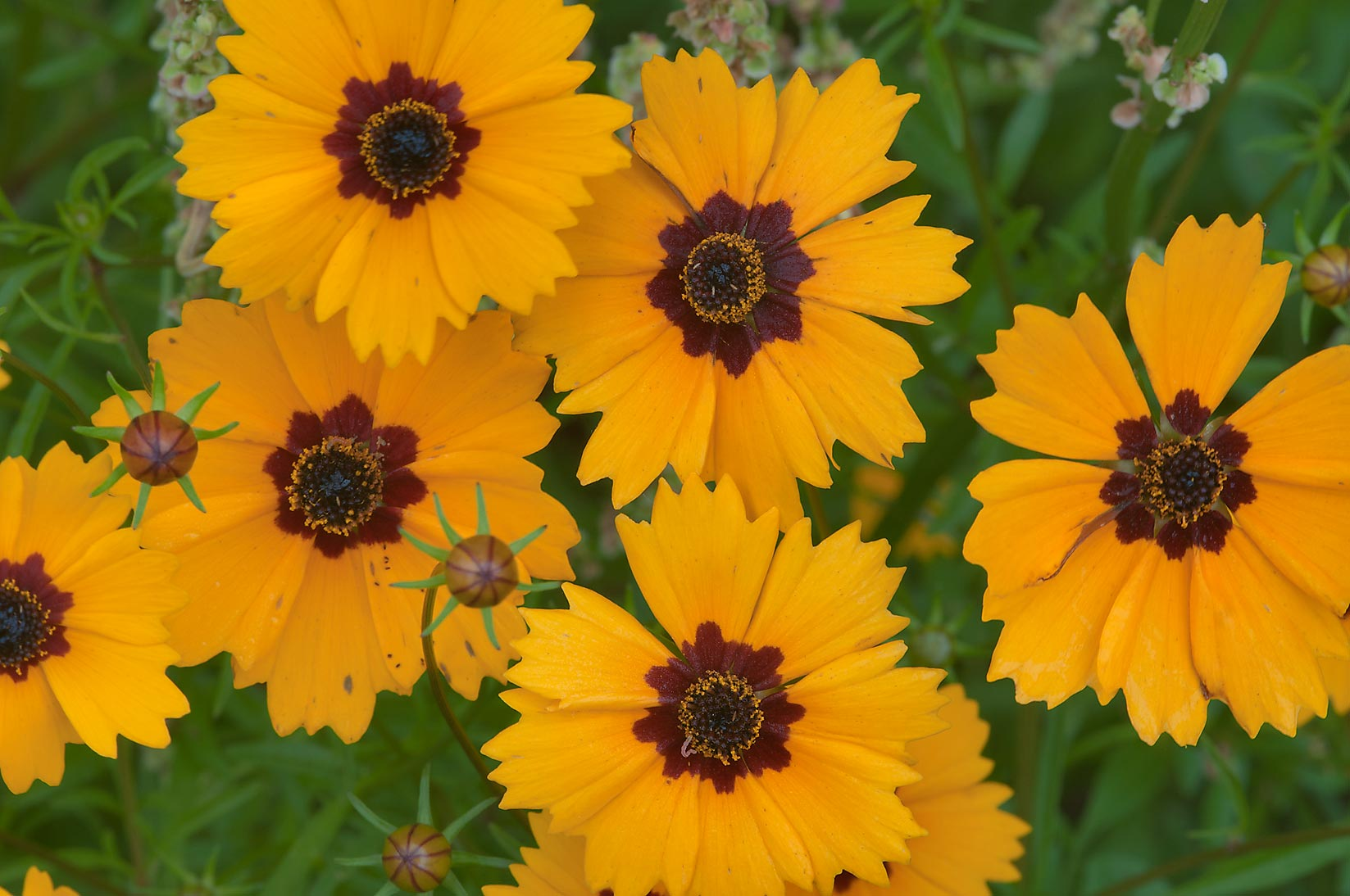 Close up of coreopsis in Lick Creek Park. College Station, Texas