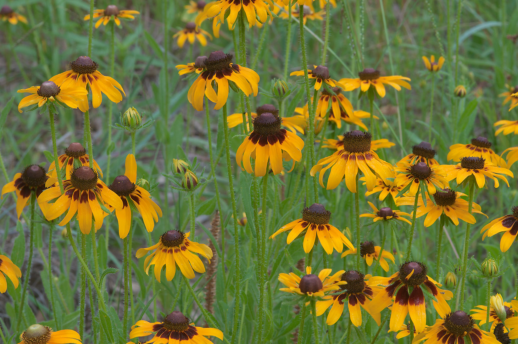 Black Eyed Susan (Rudbeckia hirta) flowers in Lick Creek Park. College Station, Texas