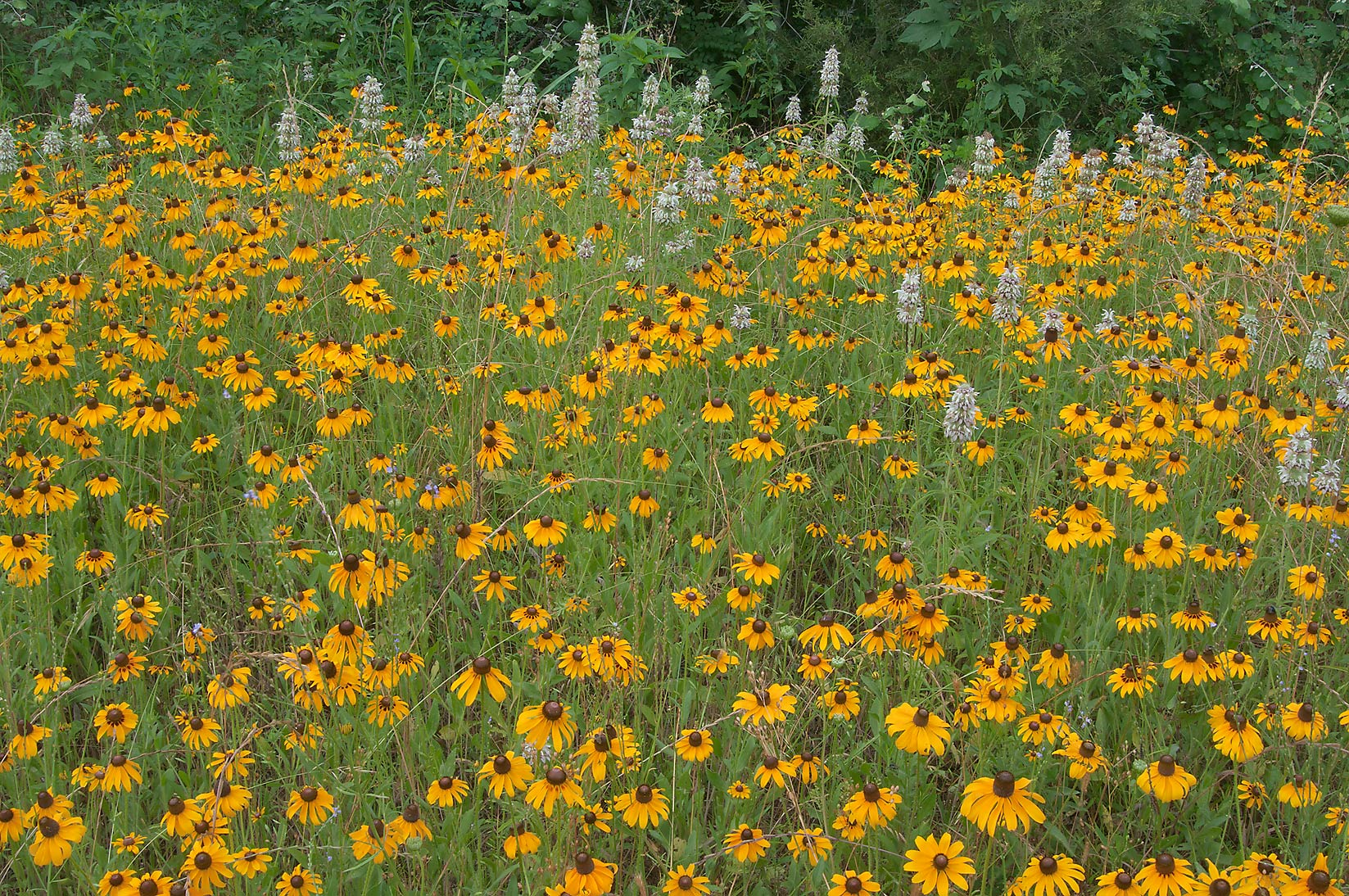 Black Eyed Susan and beebalm near Loop Trail in...State Historic Site. Washington, Texas