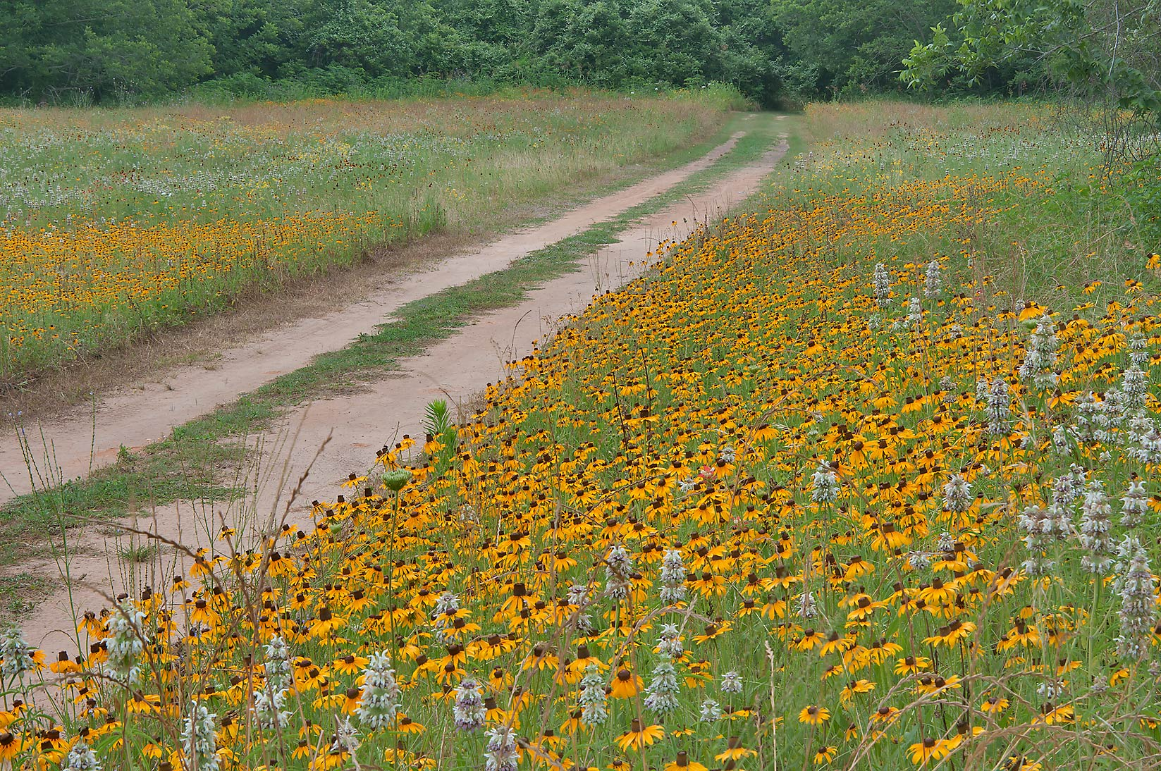 Field of flowers near Loop Trail in Washington-on...State Historic Site. Washington, Texas