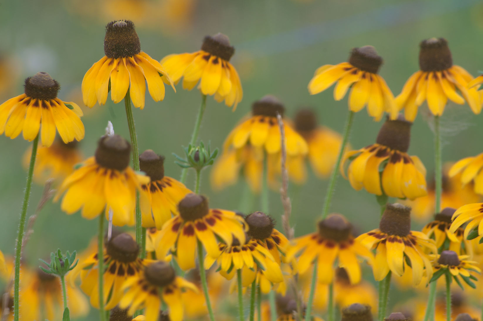 Black Eyed Susan flowers near Rd. FM 60 near Lake Somerville. Texas