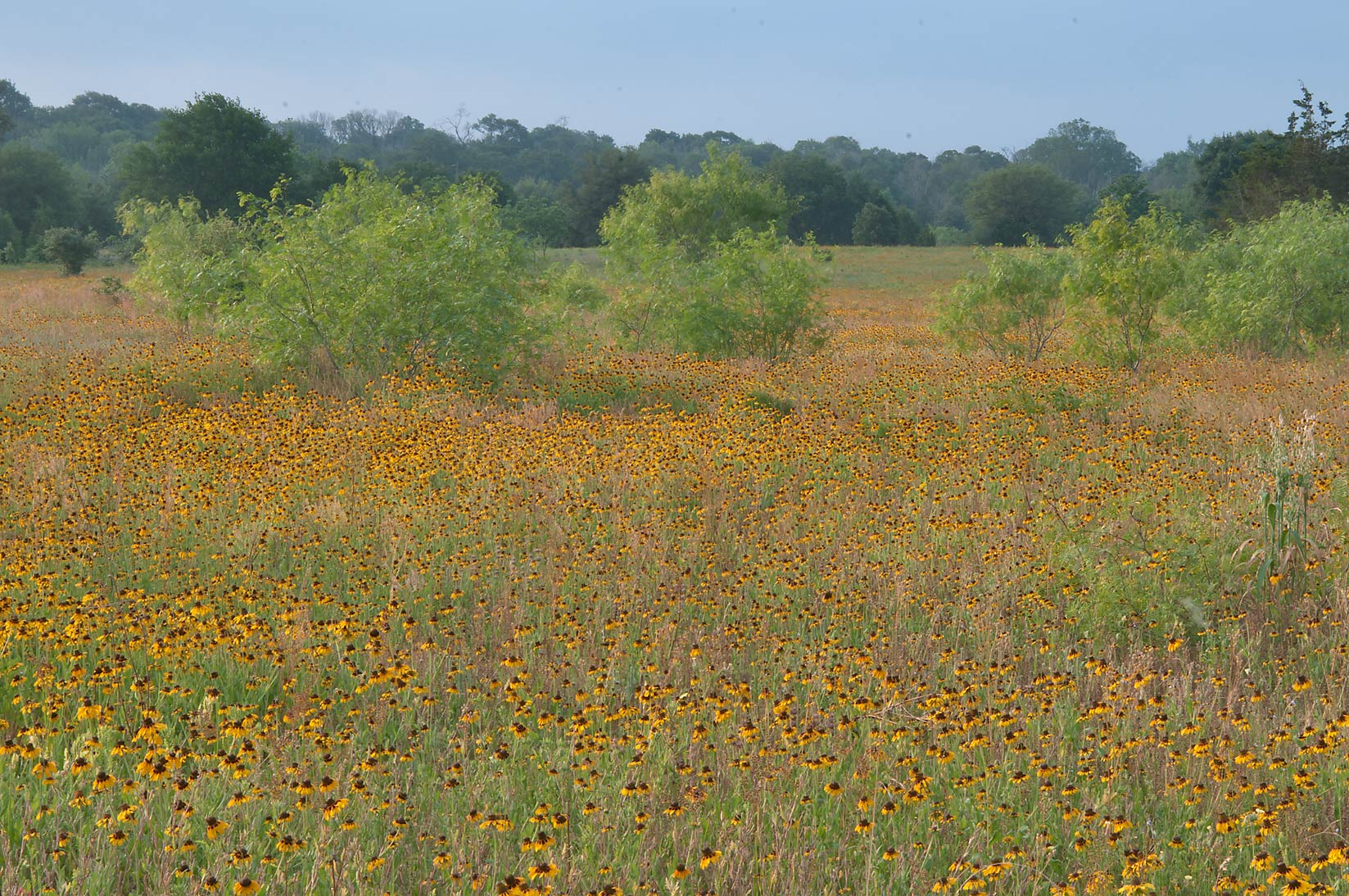 Black Eyed Susan and mesquite trees near Rd. FM 60 near Lake Somerville. Texas