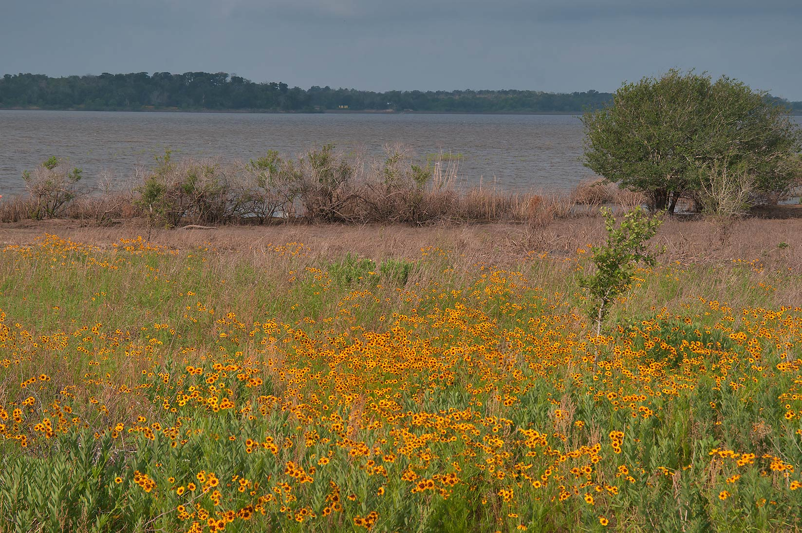 Black Eyed Susan near Lake Somerville in Birch Creek Unit. Texas