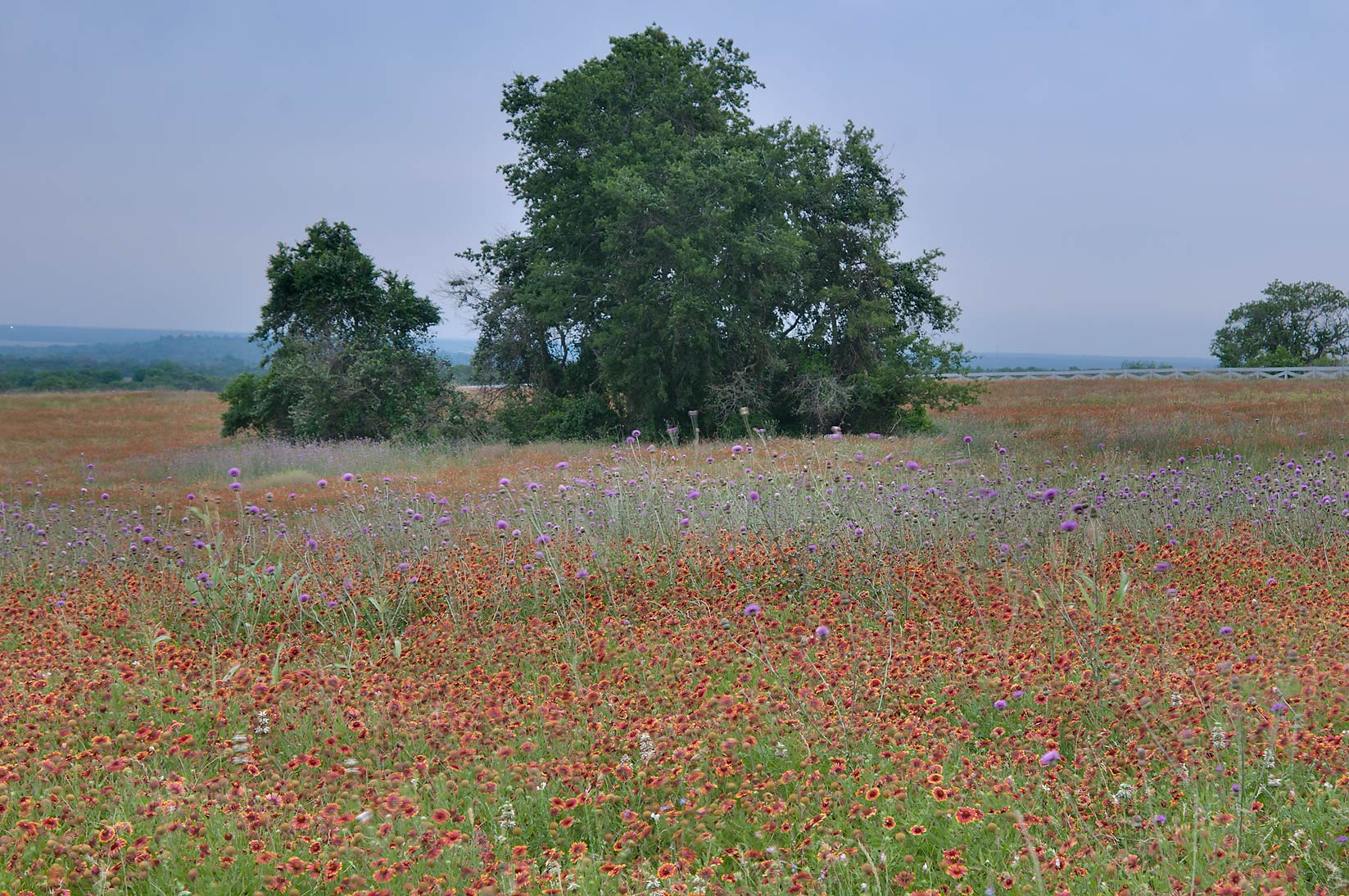 Field of firewheel flowers near Rd. FM 390 south from Lake Somerville. Texas