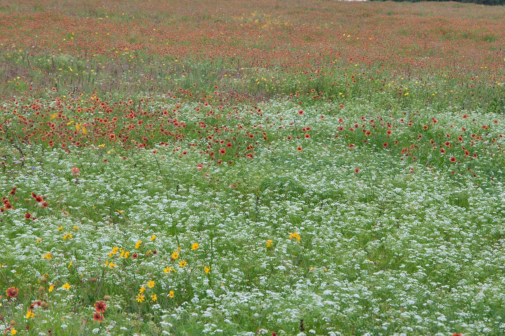 Field of flowers near Rd. FM 390 south from Lake Somerville. Texas