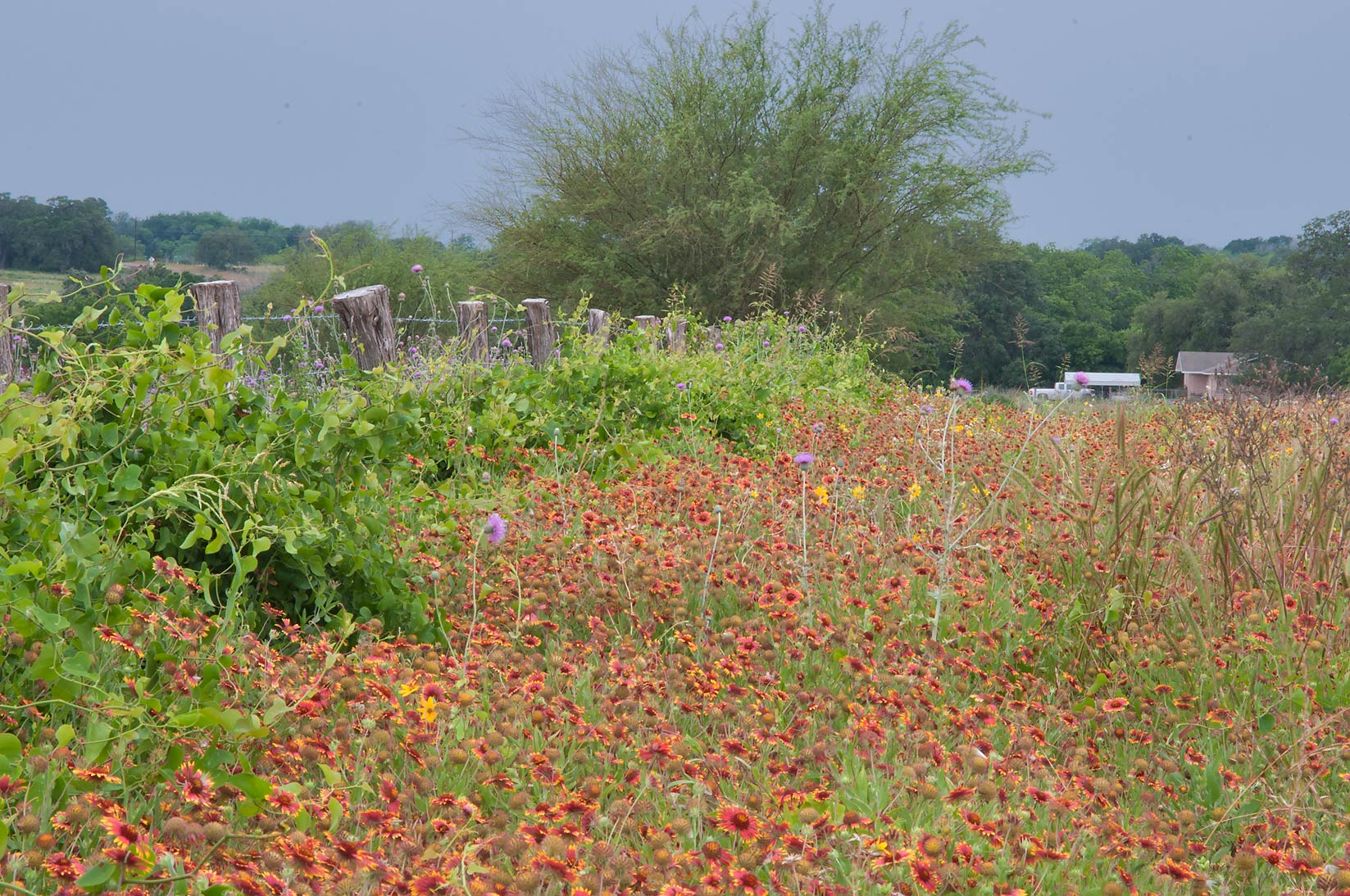 Roadside flowers near Rd. FM 390 south from Lake Somerville. Texas