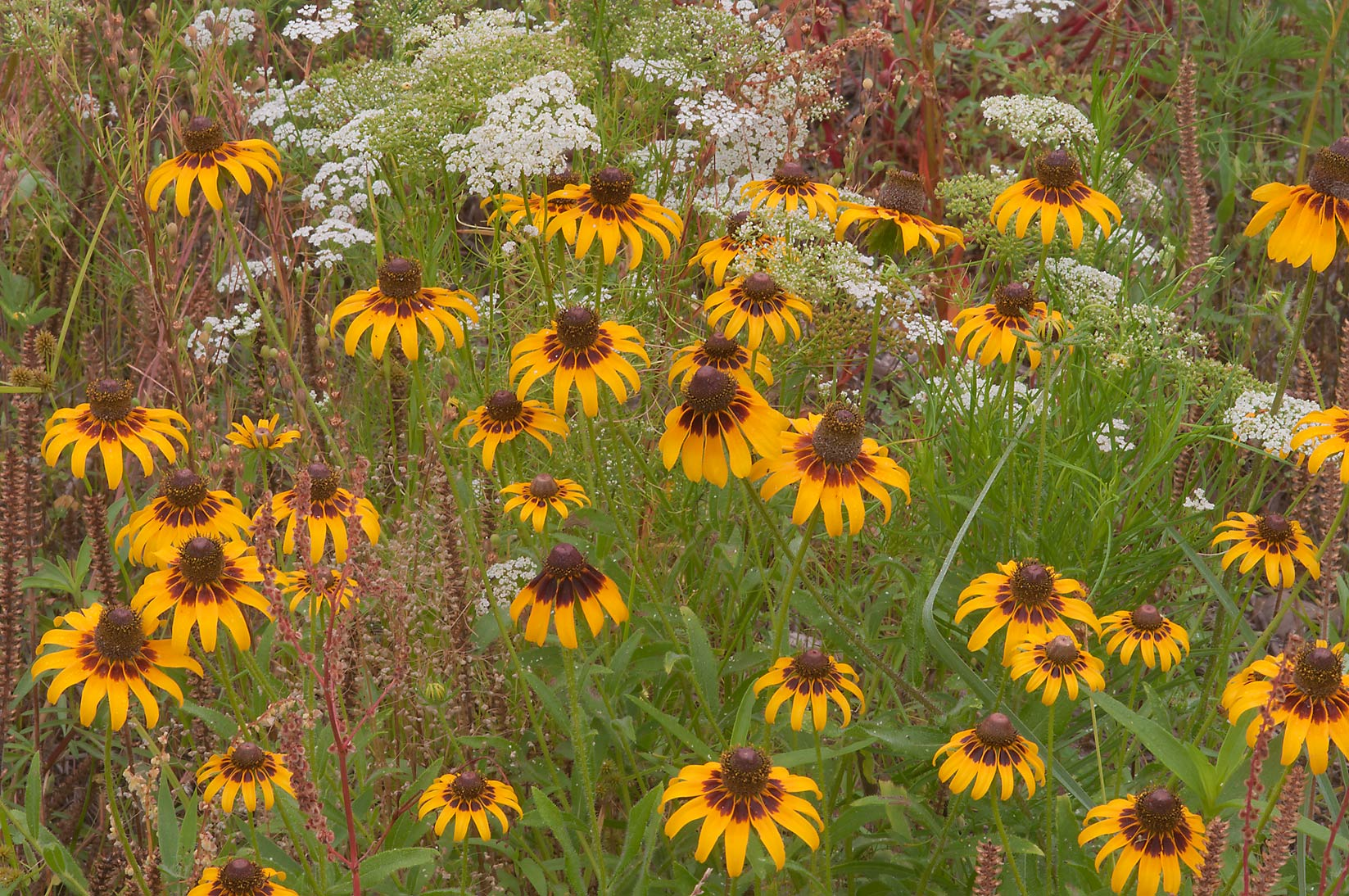 Black-eyed susan and Mock Bishop's Weed flowers in Lick Creek Park. College Station, Texas
