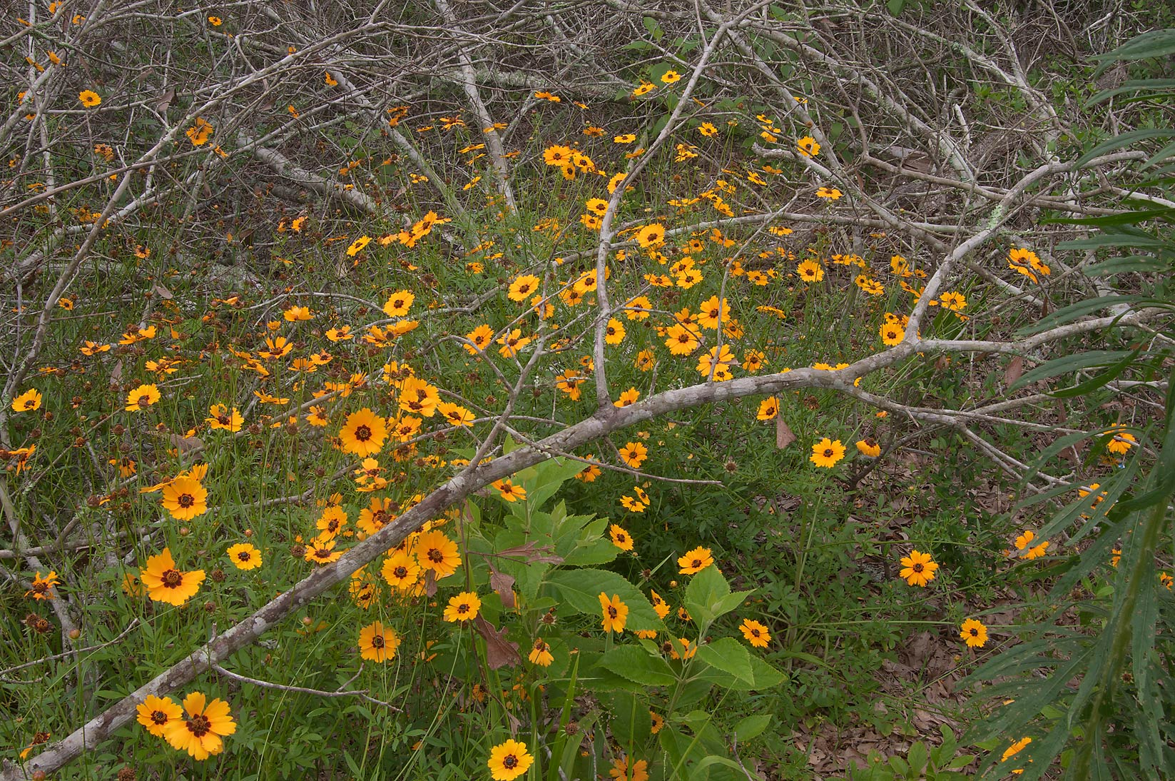 Coreopsis under fallen dry branches in Lick Creek Park. College Station, Texas