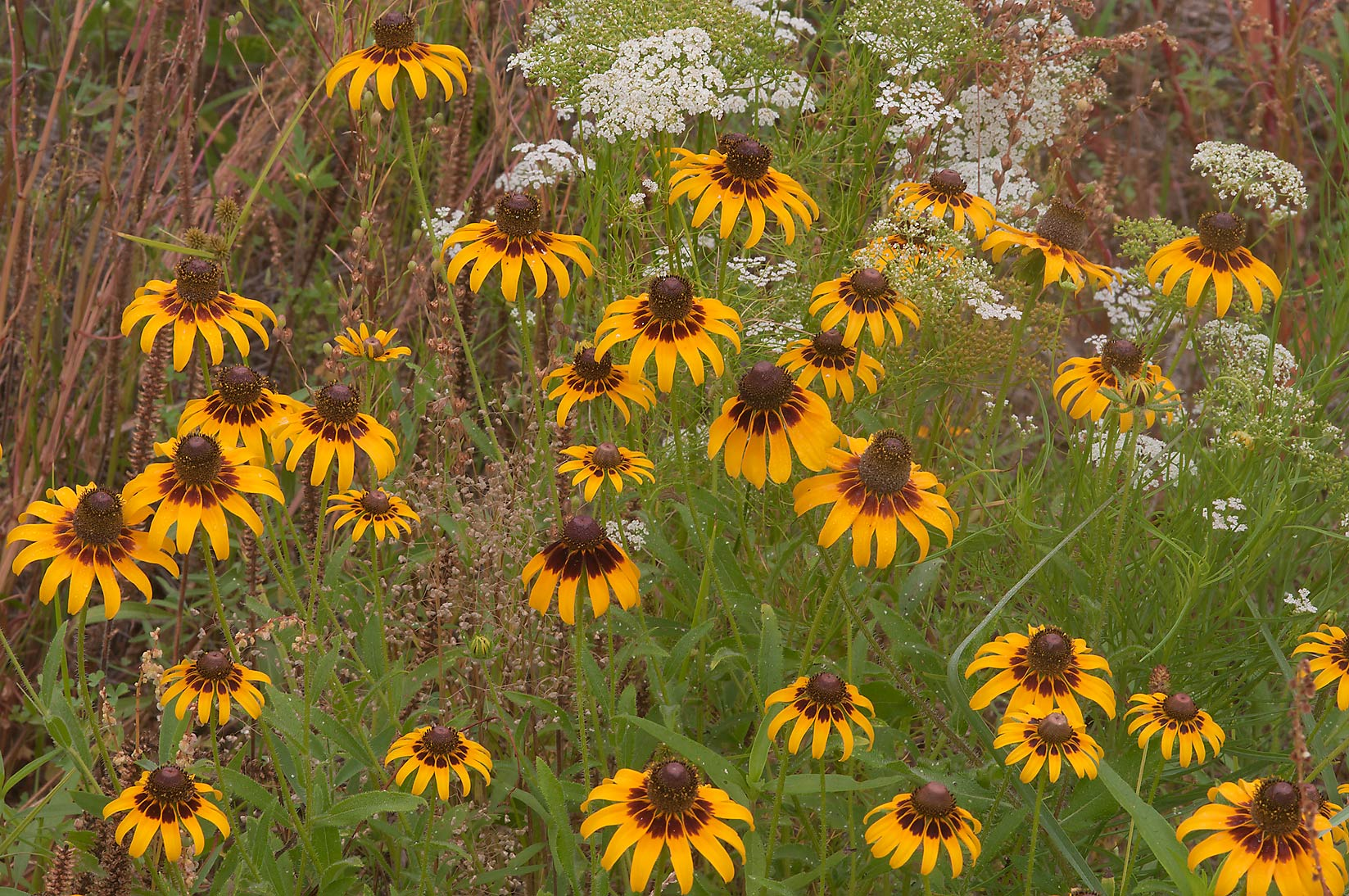 Flowers of Black eyed susan (Rudbeckia hirta) in Lick Creek Park. College Station, Texas