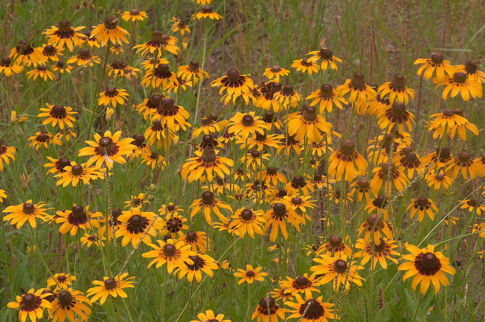 Black eyed susans in Lick Creek Park. College Station, Texas
