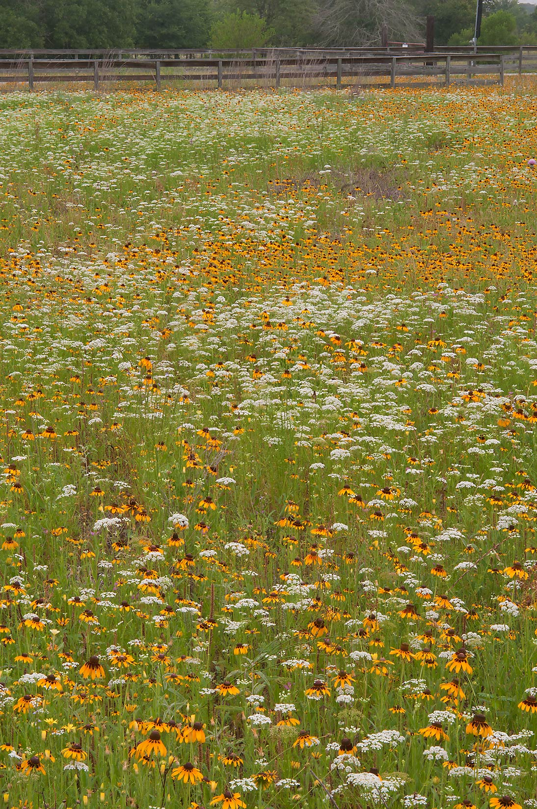 Field of flowers near equestrian entrance in Lick Creek Park. College Station, Texas
