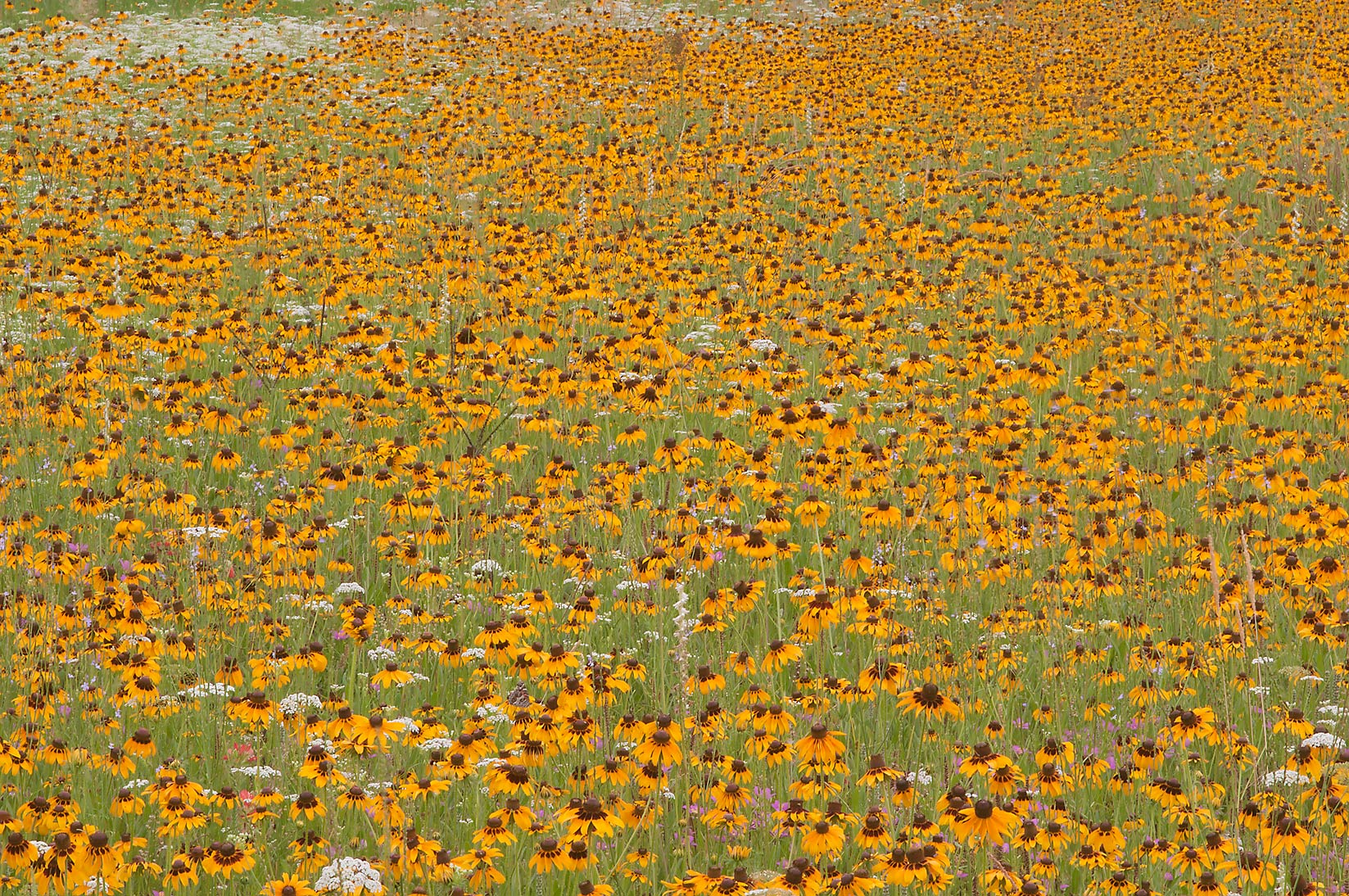 Dense field of yellow flowers near equestrian...Creek Park. College Station, Texas